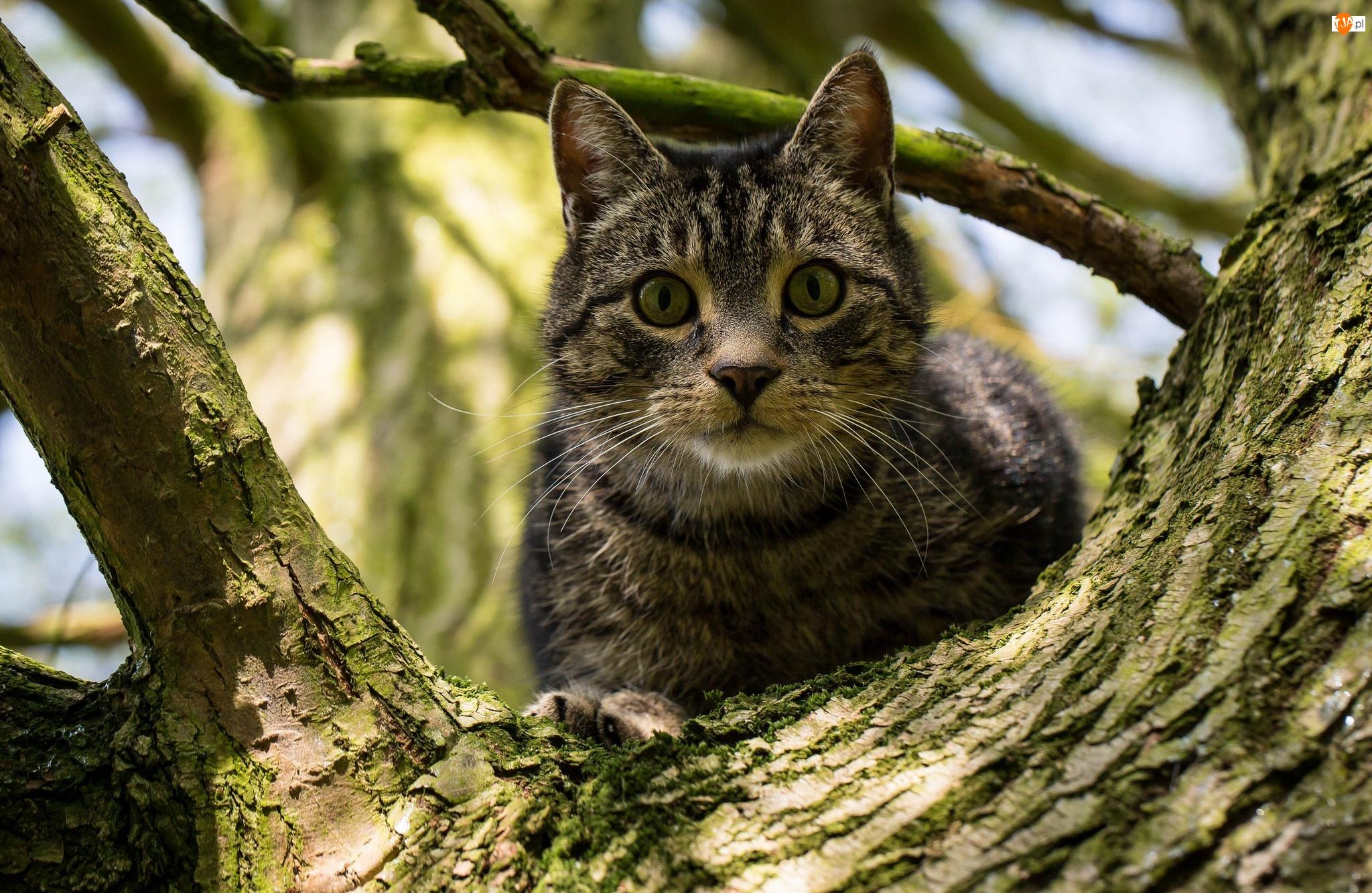 Kot brytyjski, Pręgowany