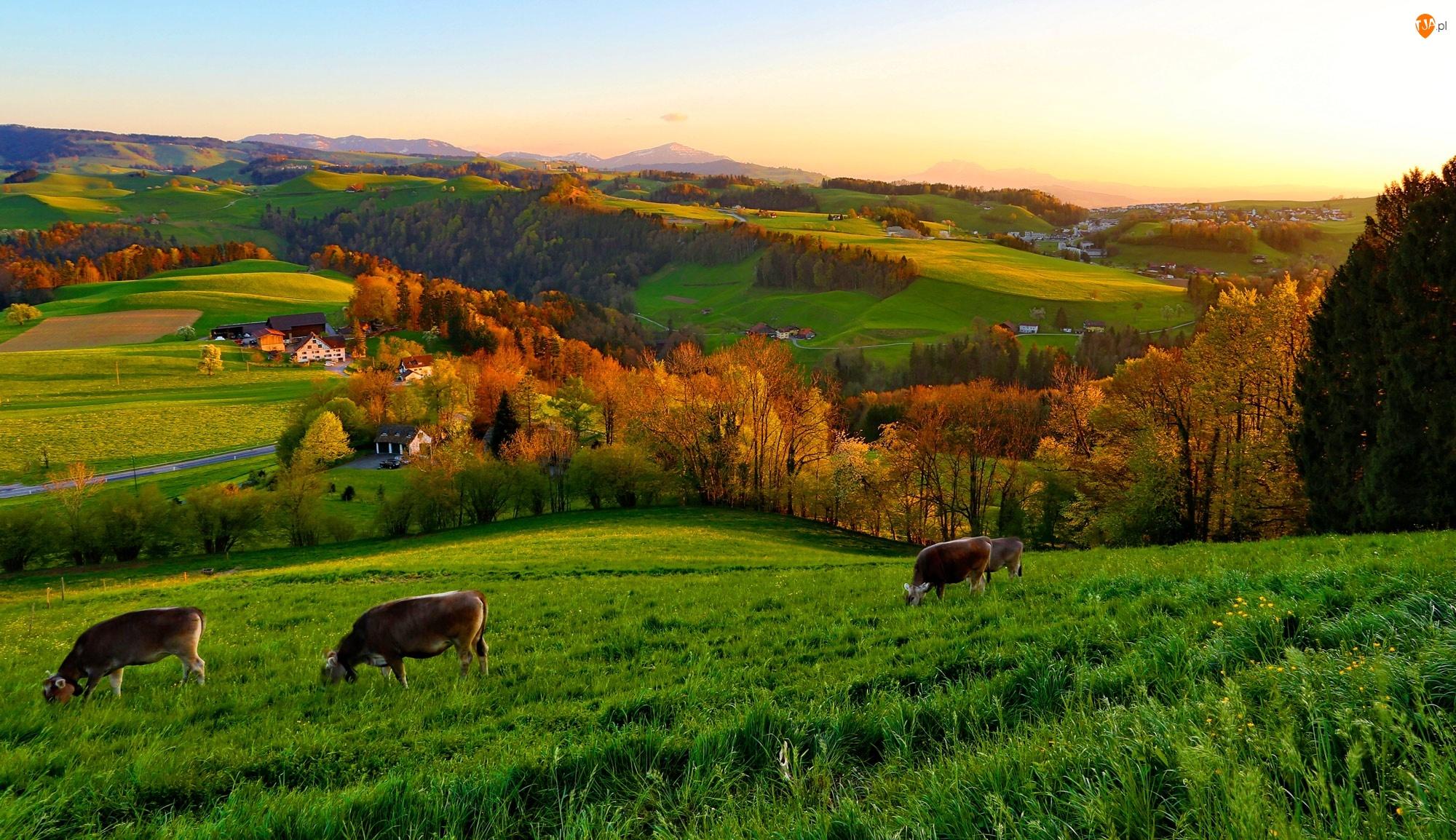 Wioska, Krowy, Łąka