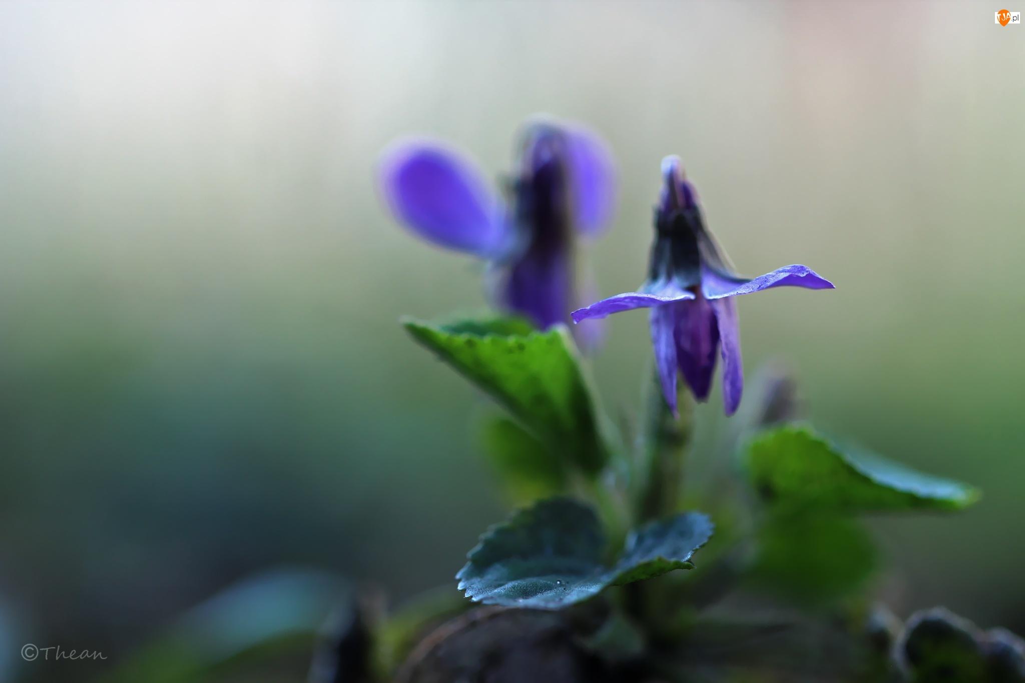 Wiosna, Fiołek Wonny, Kwiat