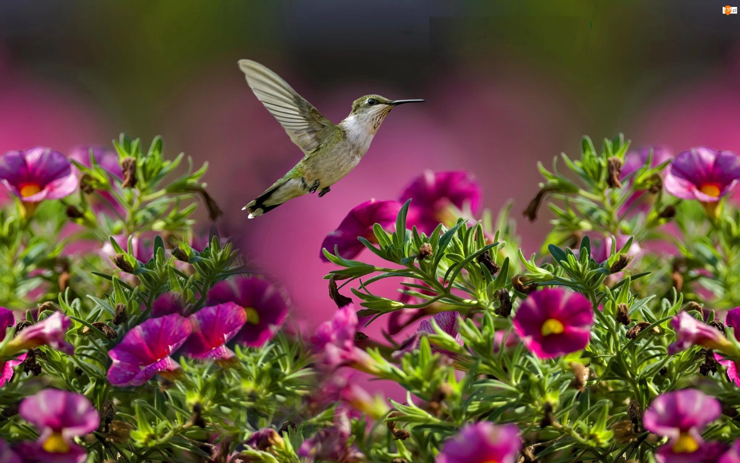 Koliber, Kwiatki