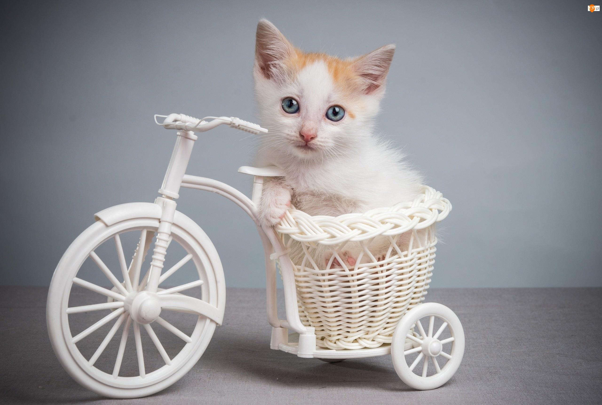 Kot, Słodkie Zwierzęta, Kociaczek, Rowerek