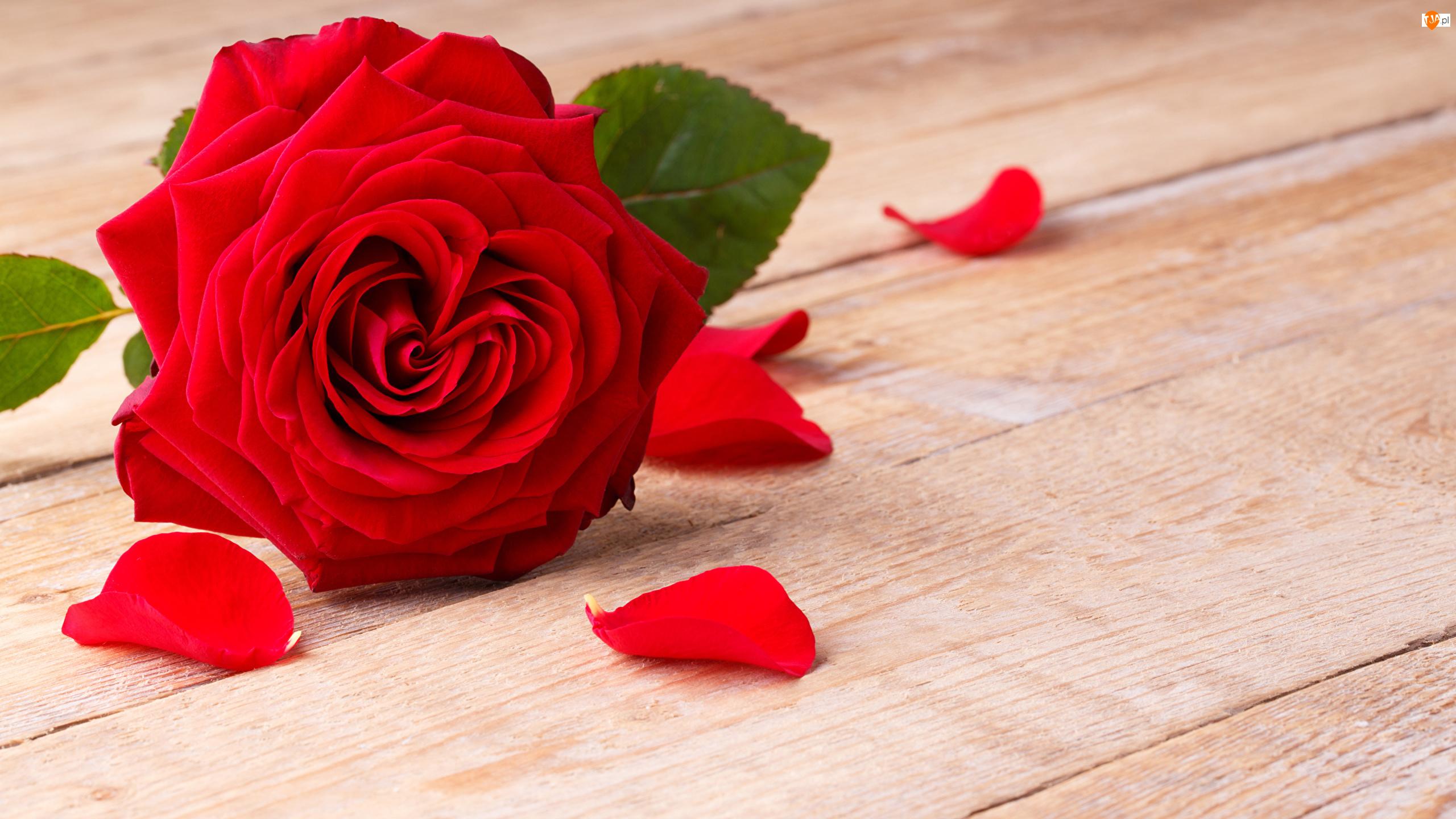Płatki, Czerwona, Róża
