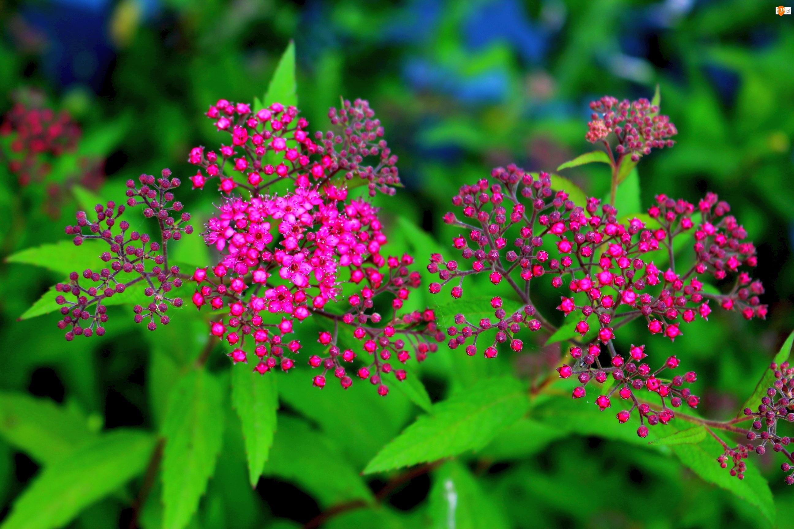 Liście, Purpurowe, Tawułka, Kwiaty, Japońska