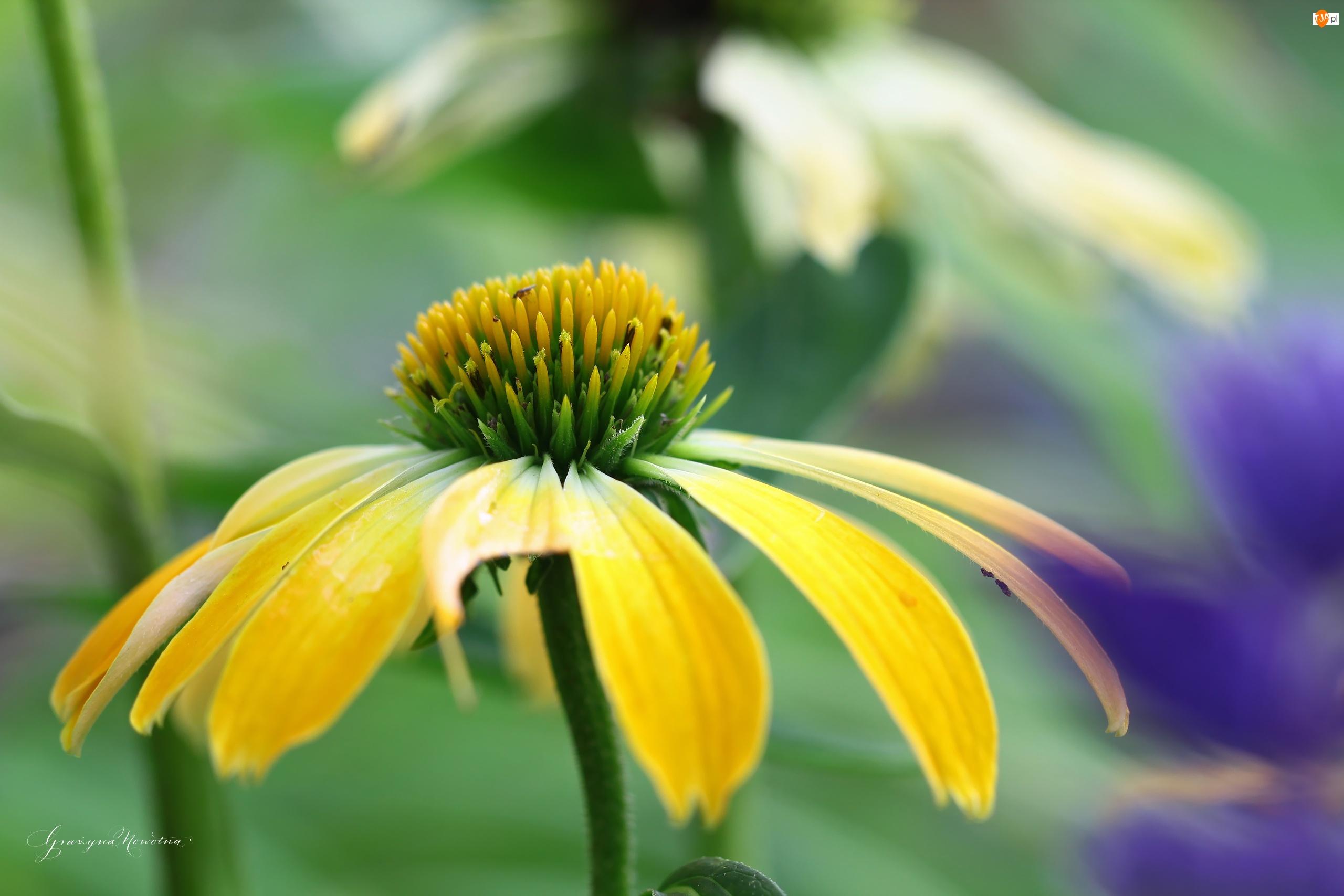 Kwiat, Żółta, Jeżówka