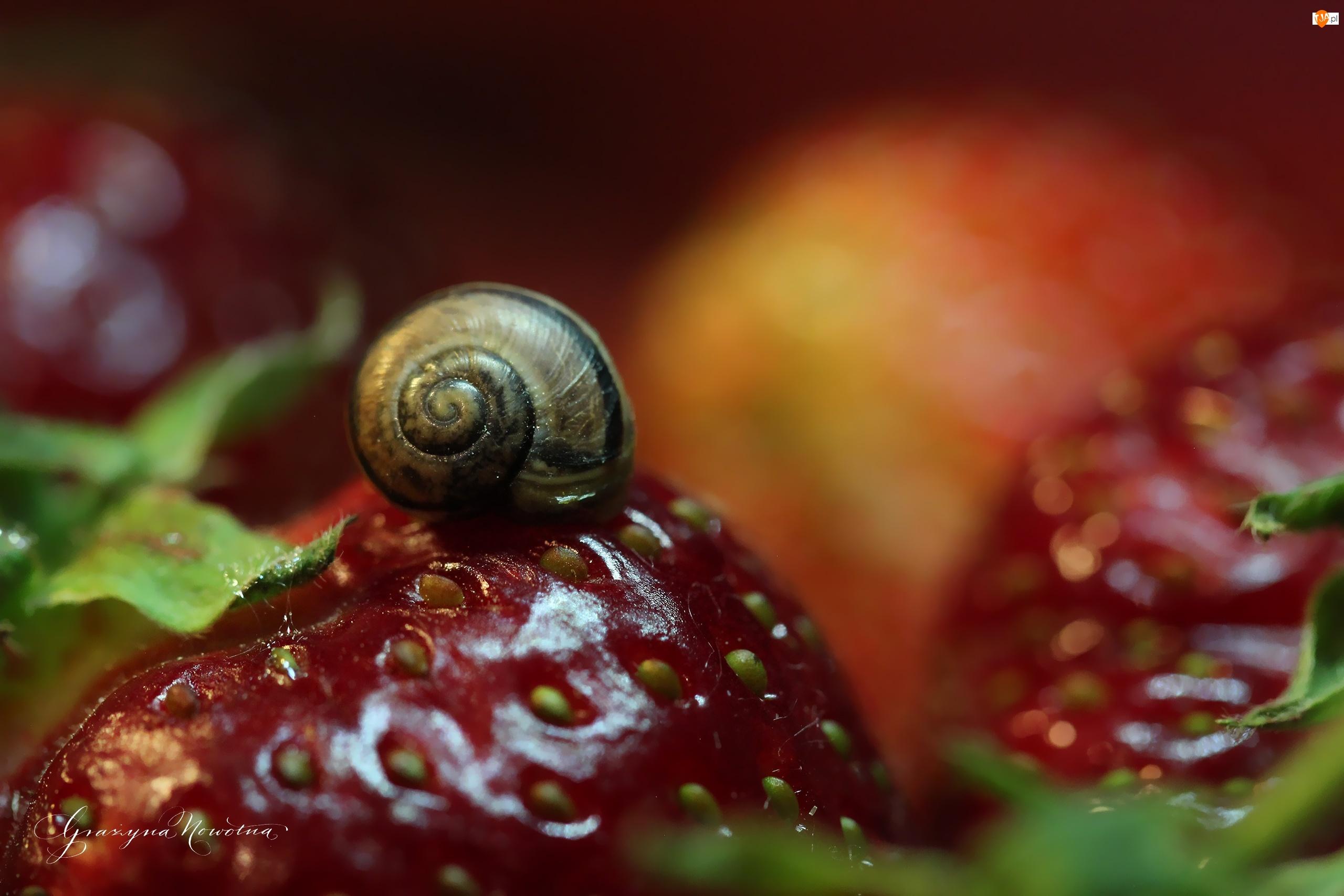 Ślimak, Truskawki, Owoce