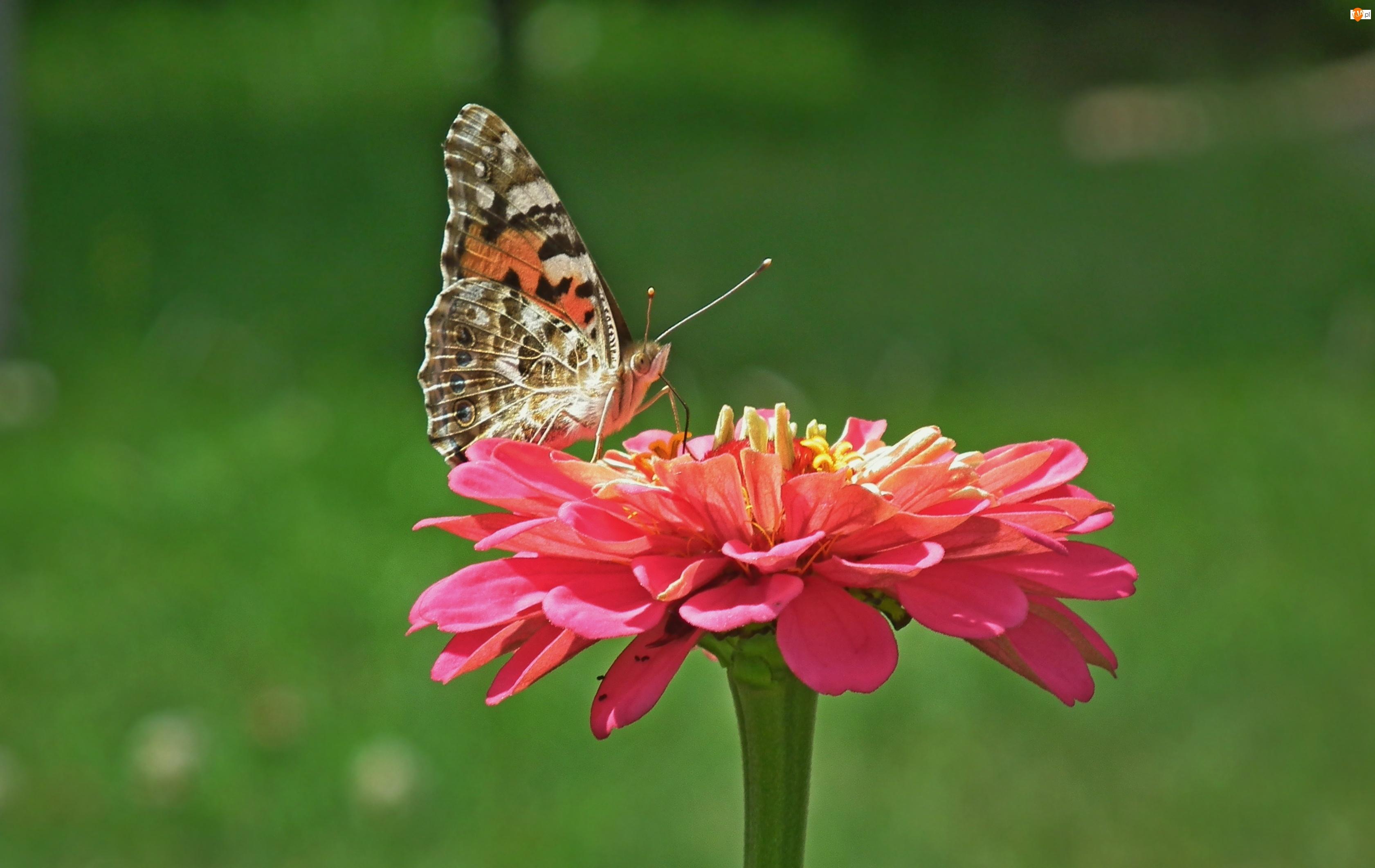 Cynia, Motyl, Osetnik, Rusałka, Kwiat