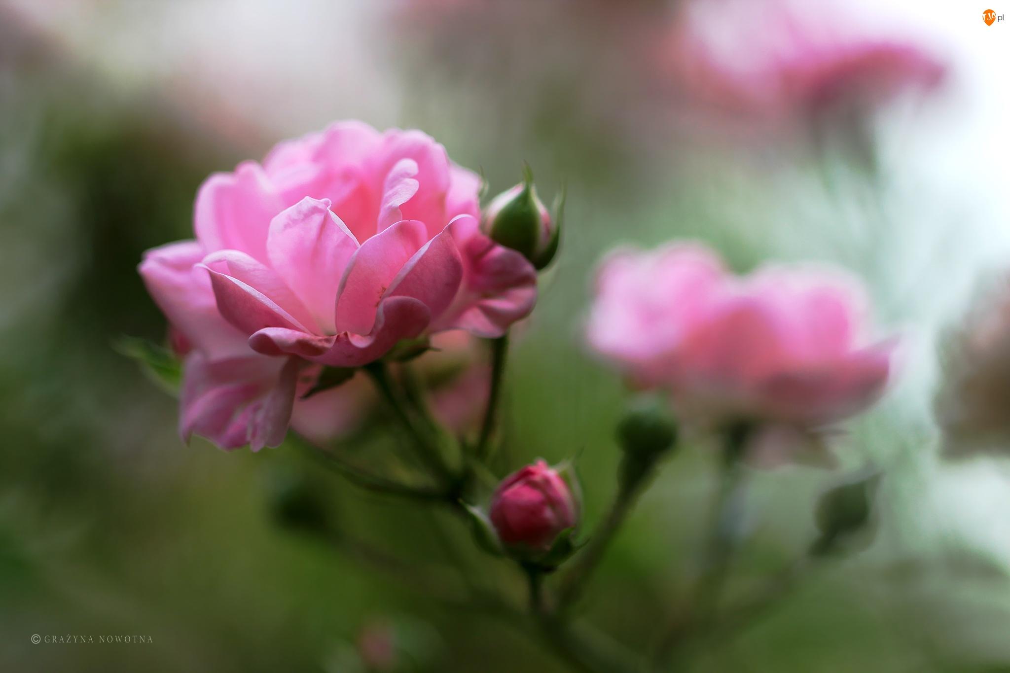 Kwiat, Różowa, Róża