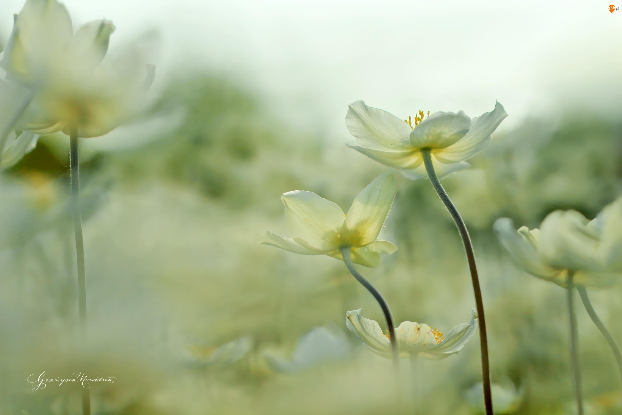 Kwiaty, Białe, Zawilce
