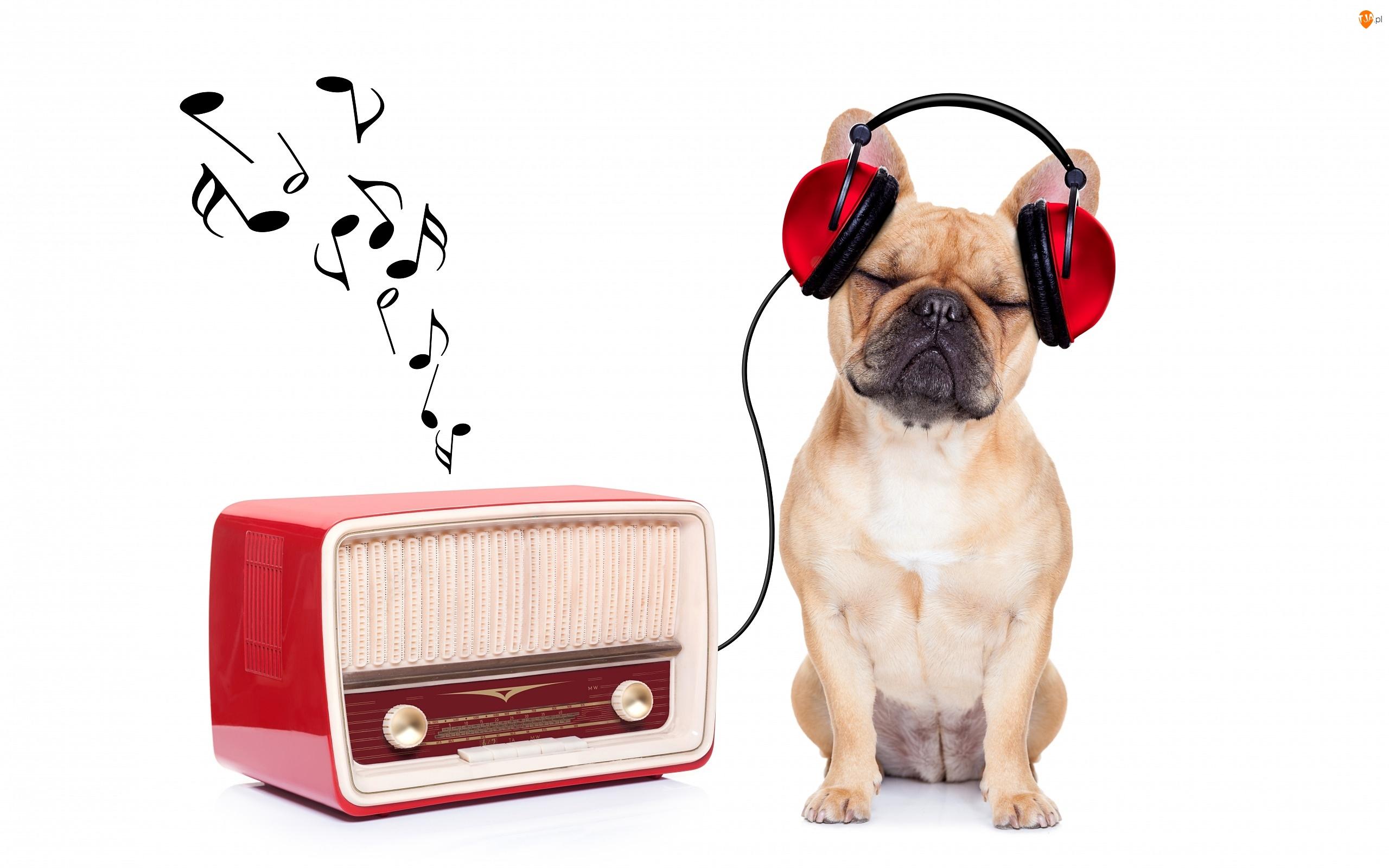 Śmieszne, Buldog francuski, Słuchawki, Muzyka, Radio