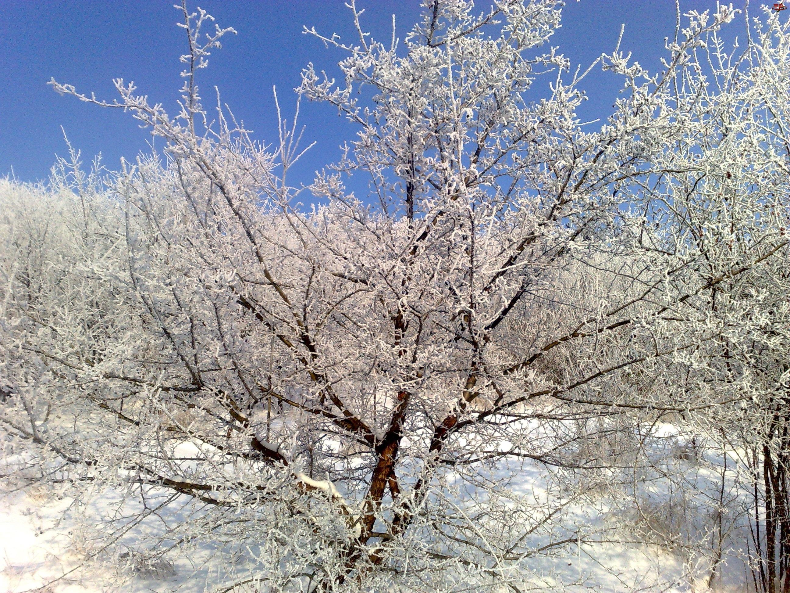 Śnieg, Krzew, Rokitnik