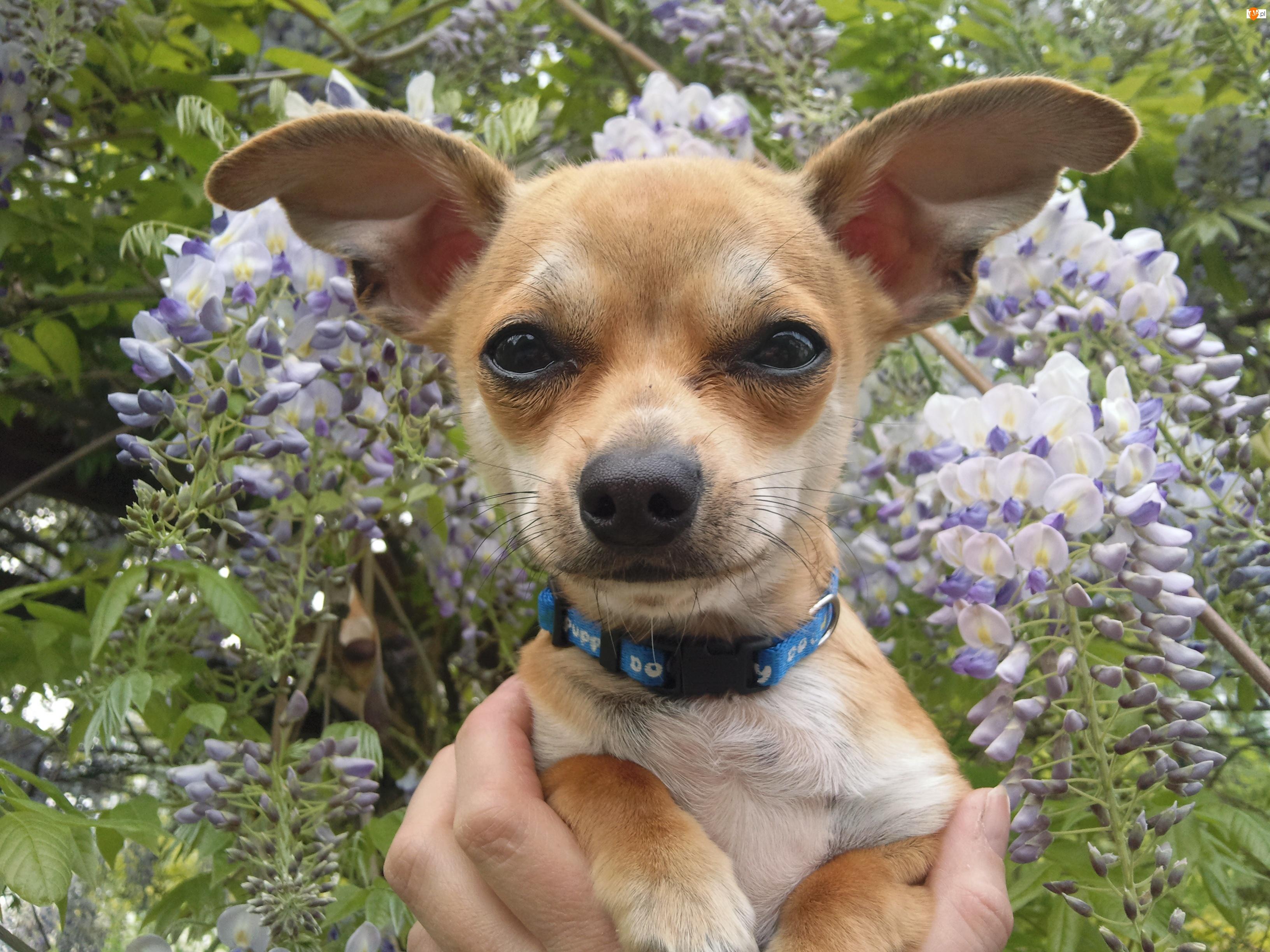 Kwiatki, Chihuahua, Obroża