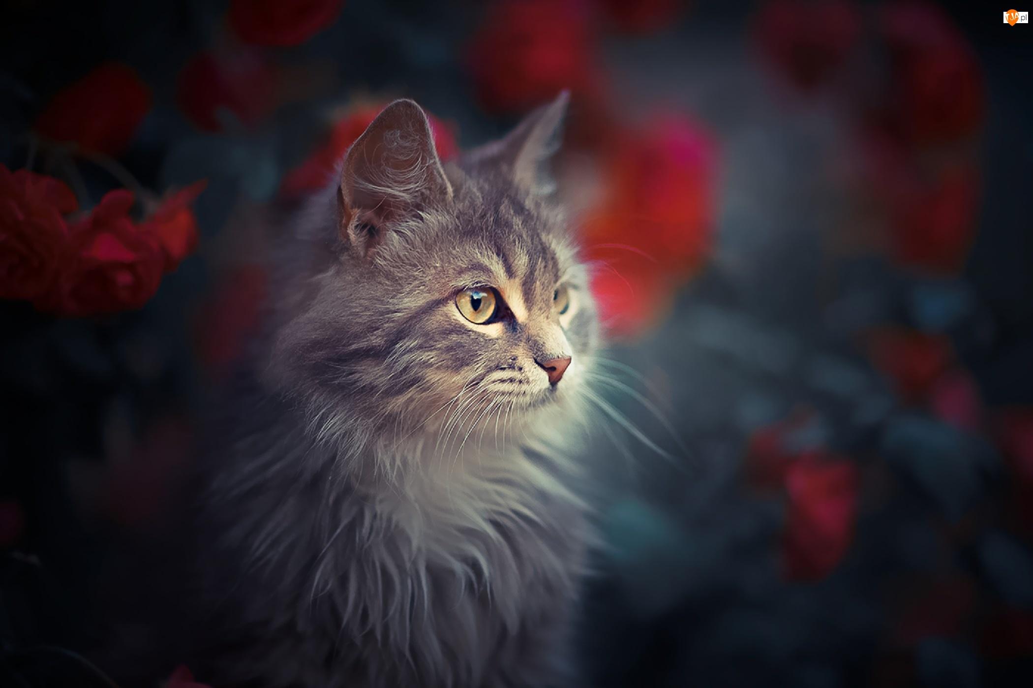Kot, Szary