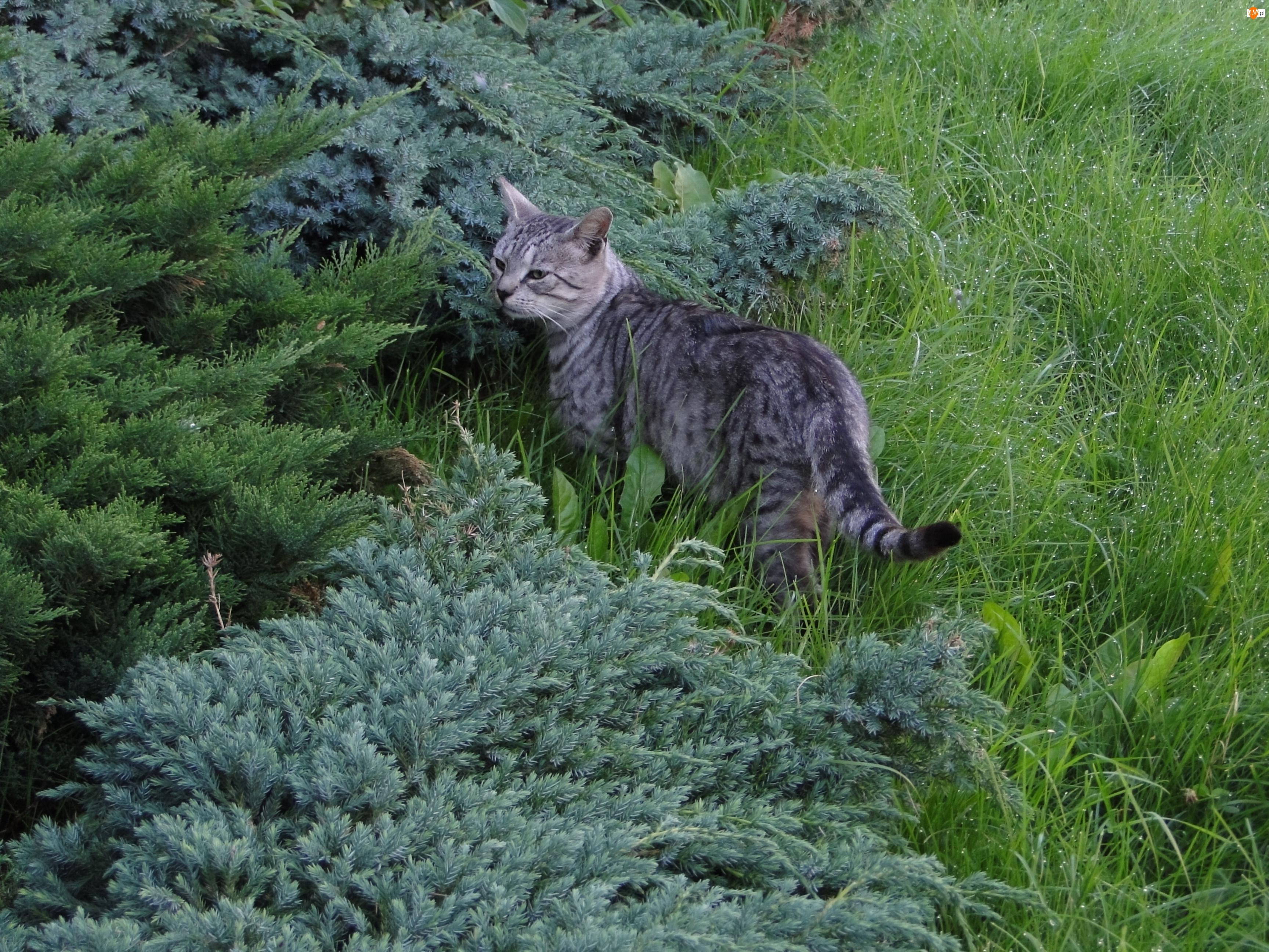 Kot, Trawa, Samiec, Ogród