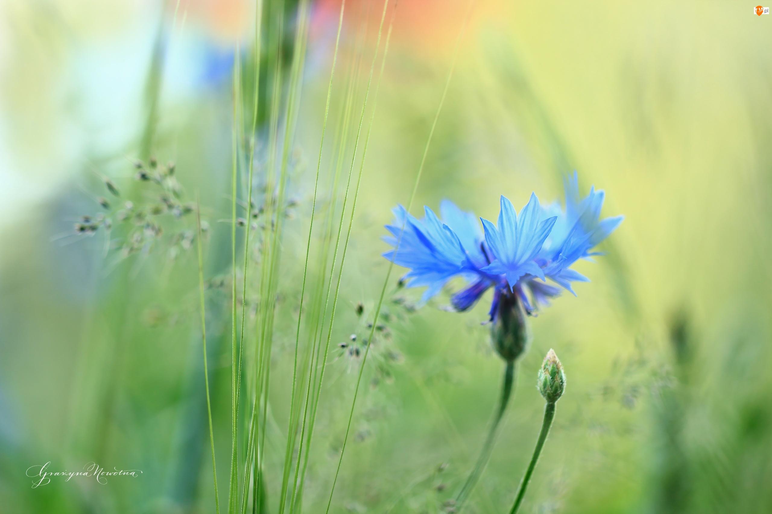 Kwiat, Chaber, Niebieski