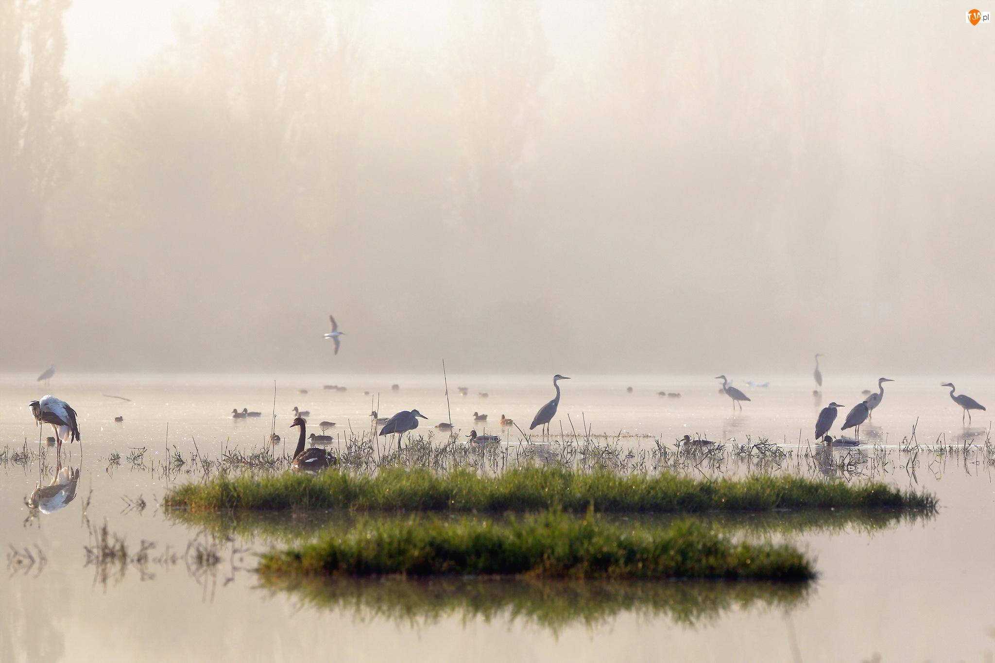 Kaczki, Jezioro, Ptaki, Mgła, Czaple