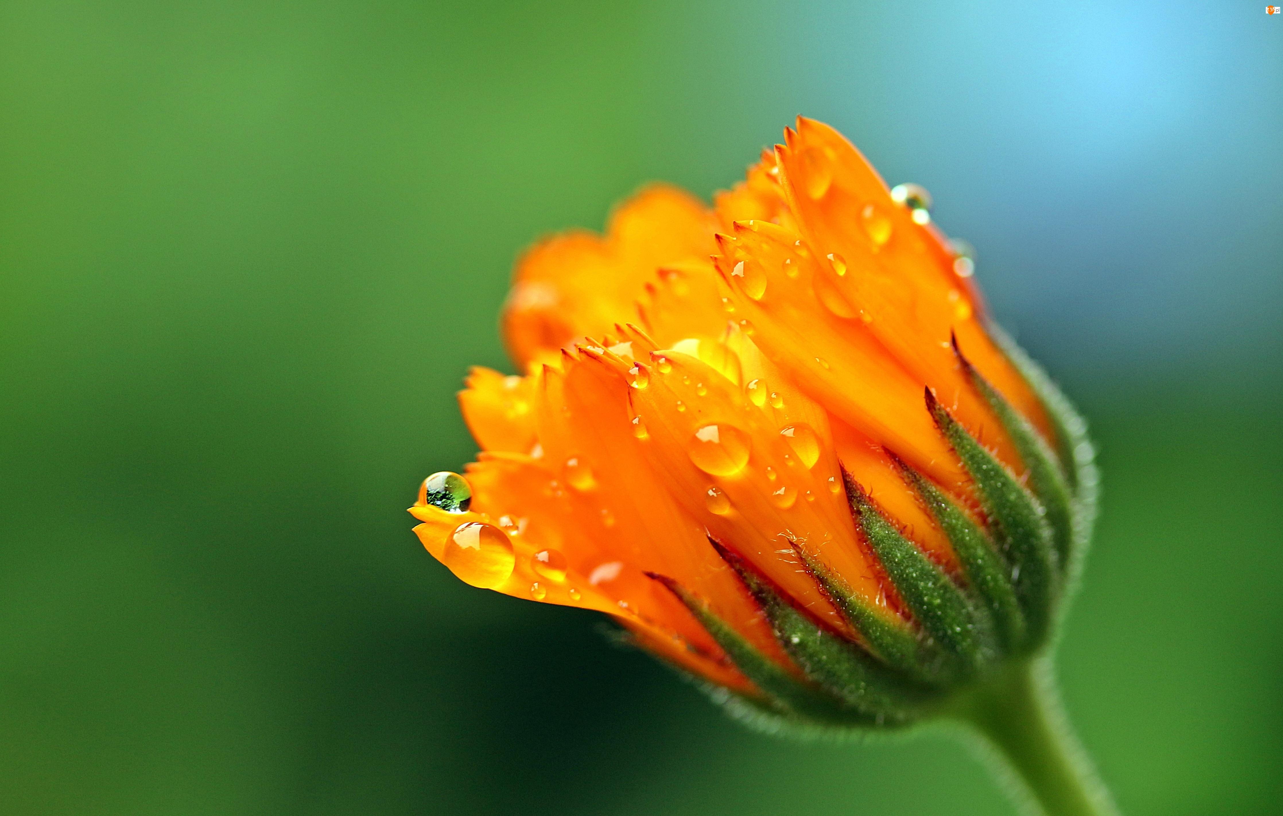 Krople, Kwiat, Nagietek