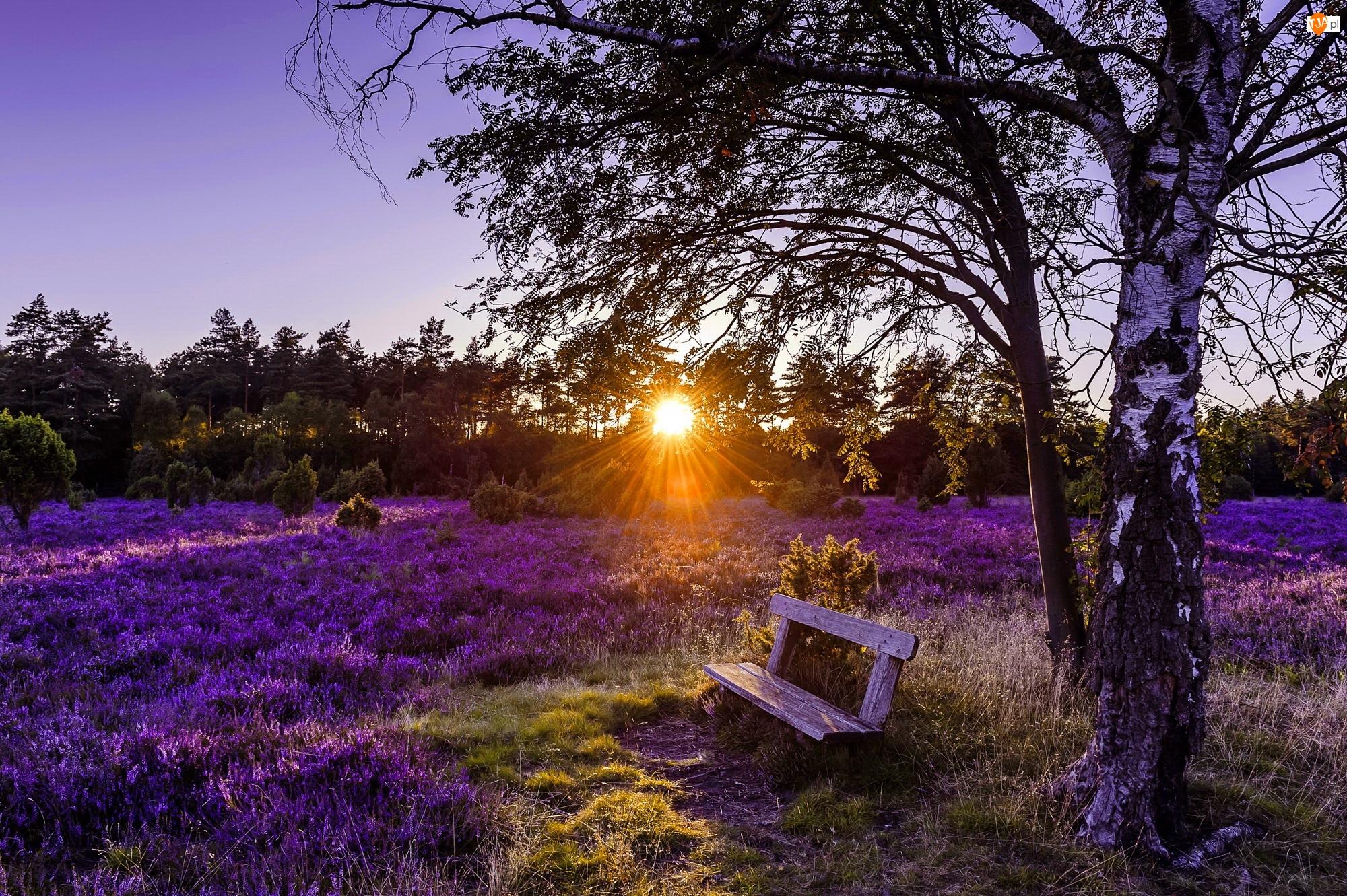 Promienie słońca, Drzewo, Pustać Lüneburska, Niemcy, Wrzos zwyczajny, Ławka, Brzoza