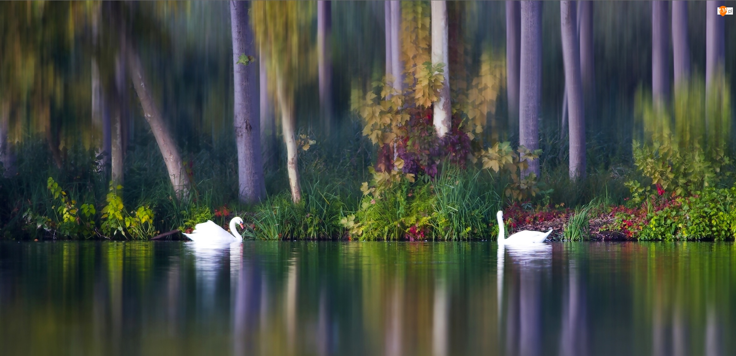Krzewy, Dwa, Jesień, Łabędzie, Drzewa, Jezioro