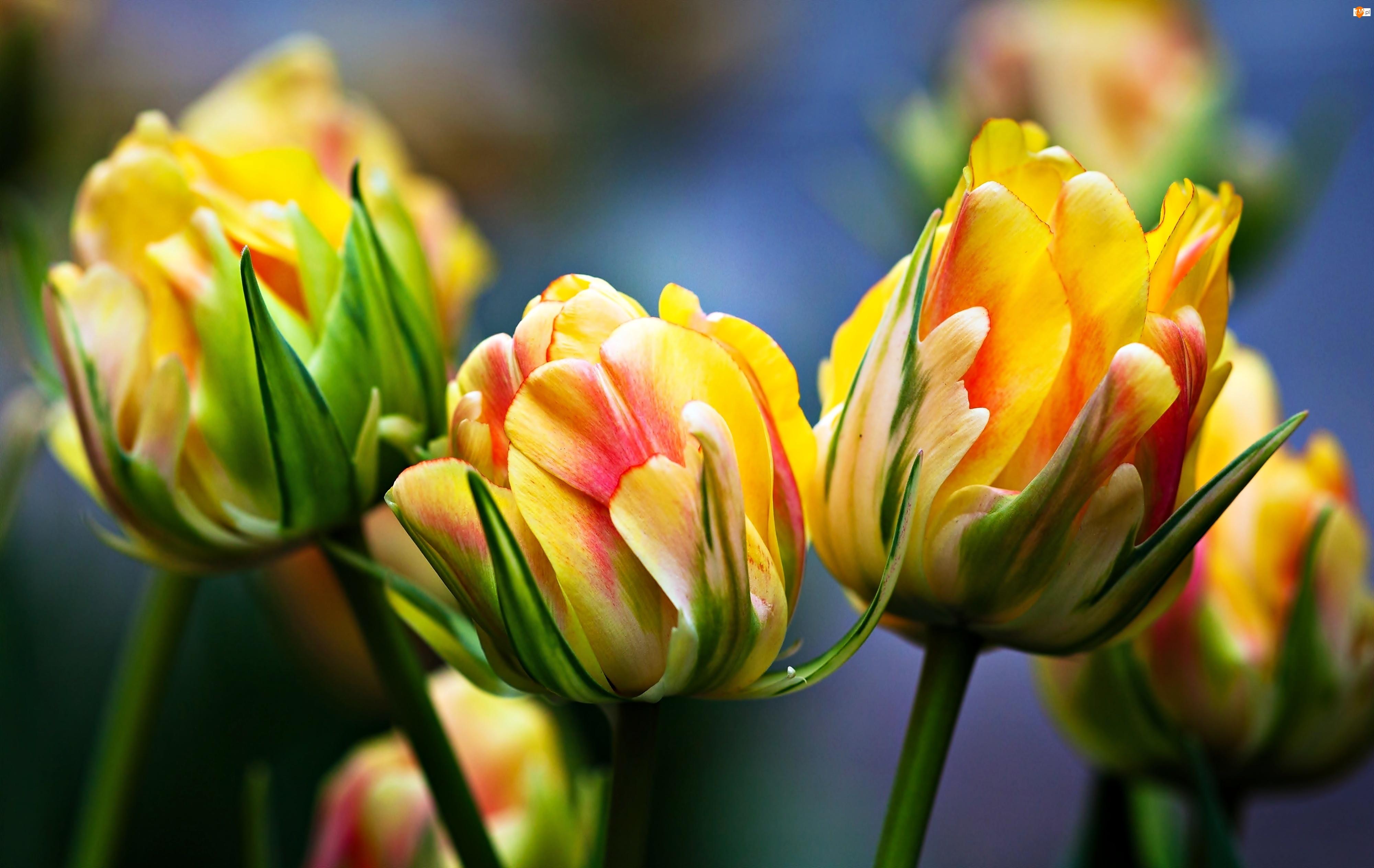 Tulipany, Żółto, Czerwone