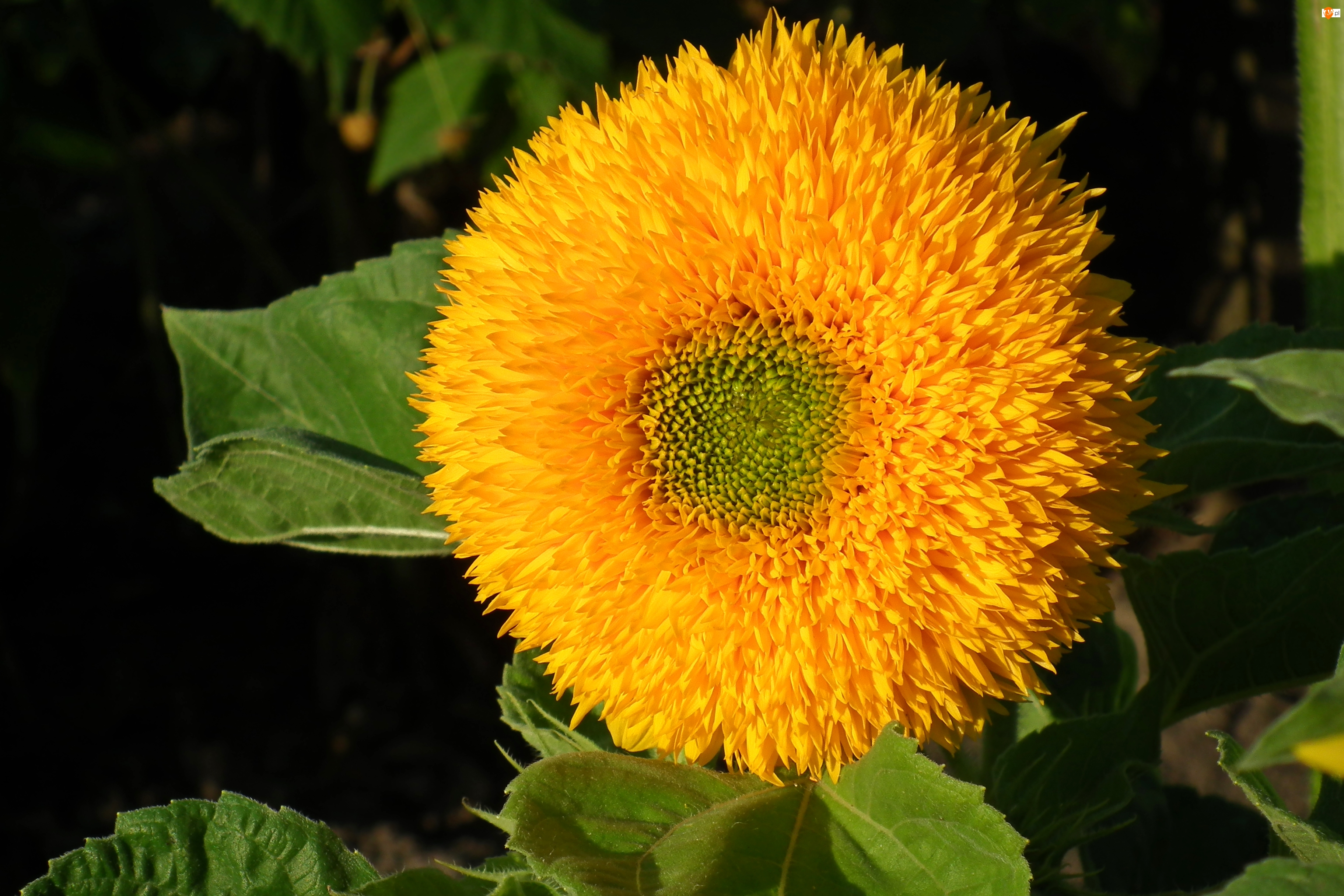 Słonecznik, Przyroda, Kwiat