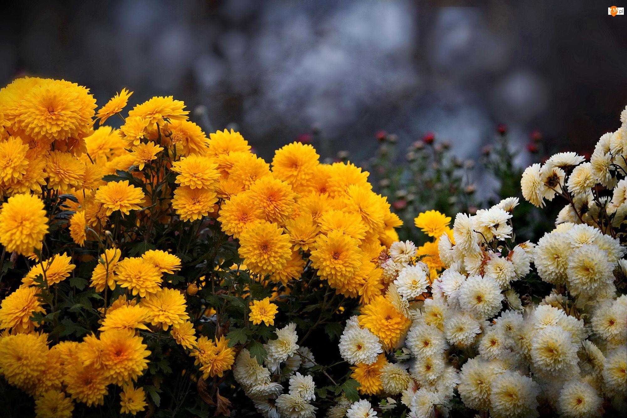 Chryzantemy, Białe, Żółte