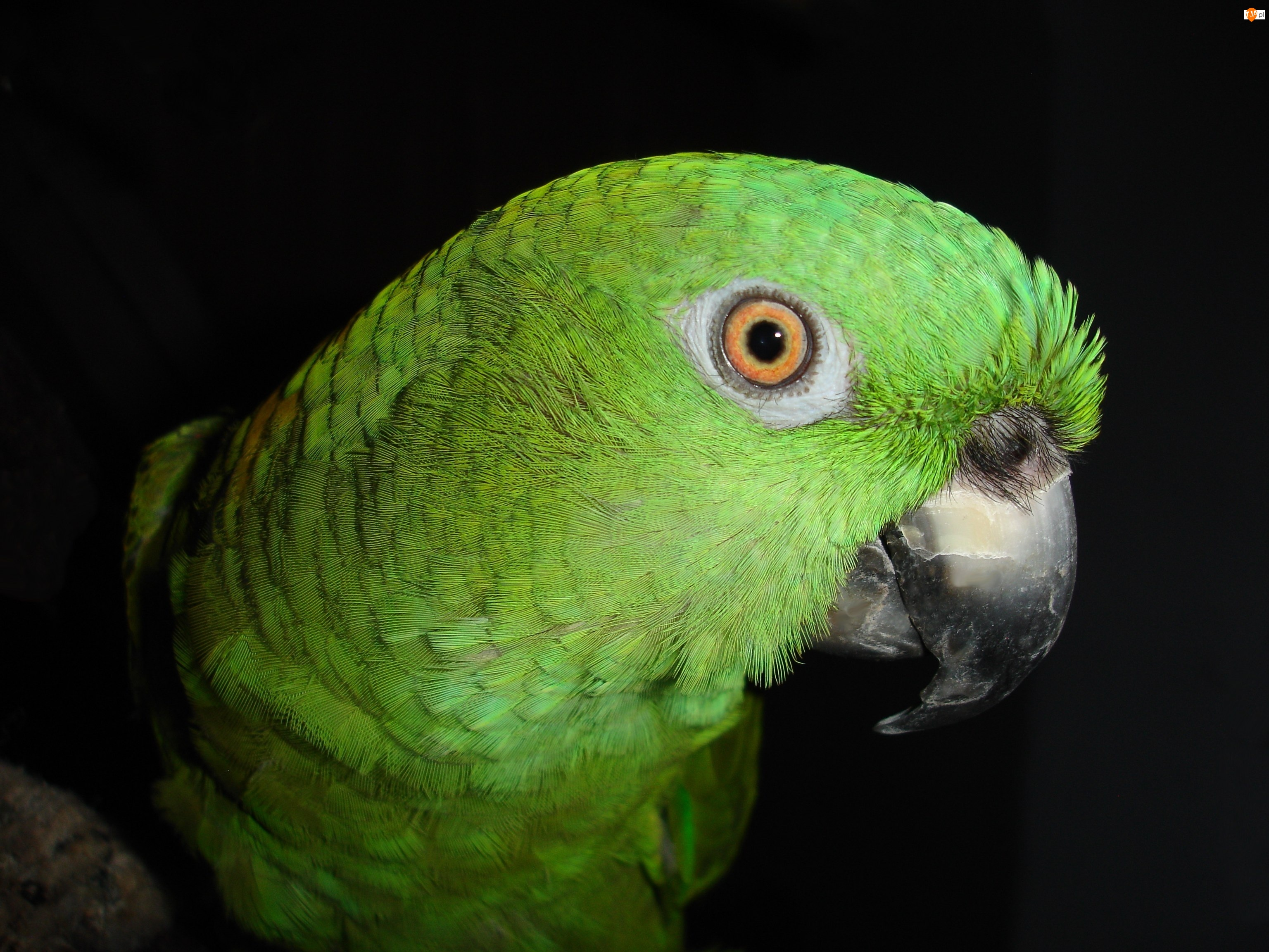 Papuga, Dziób