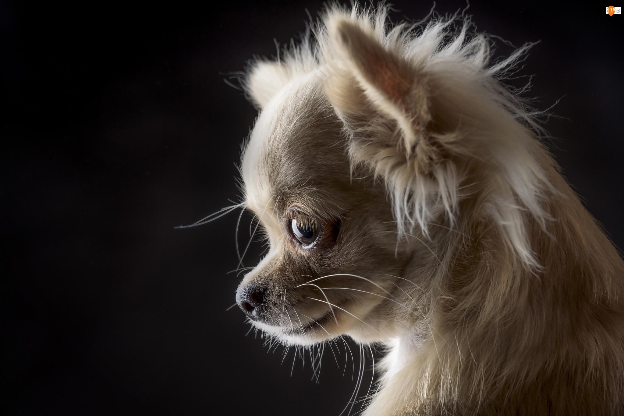 Chihuahua, Słodki, Szczeniaczek