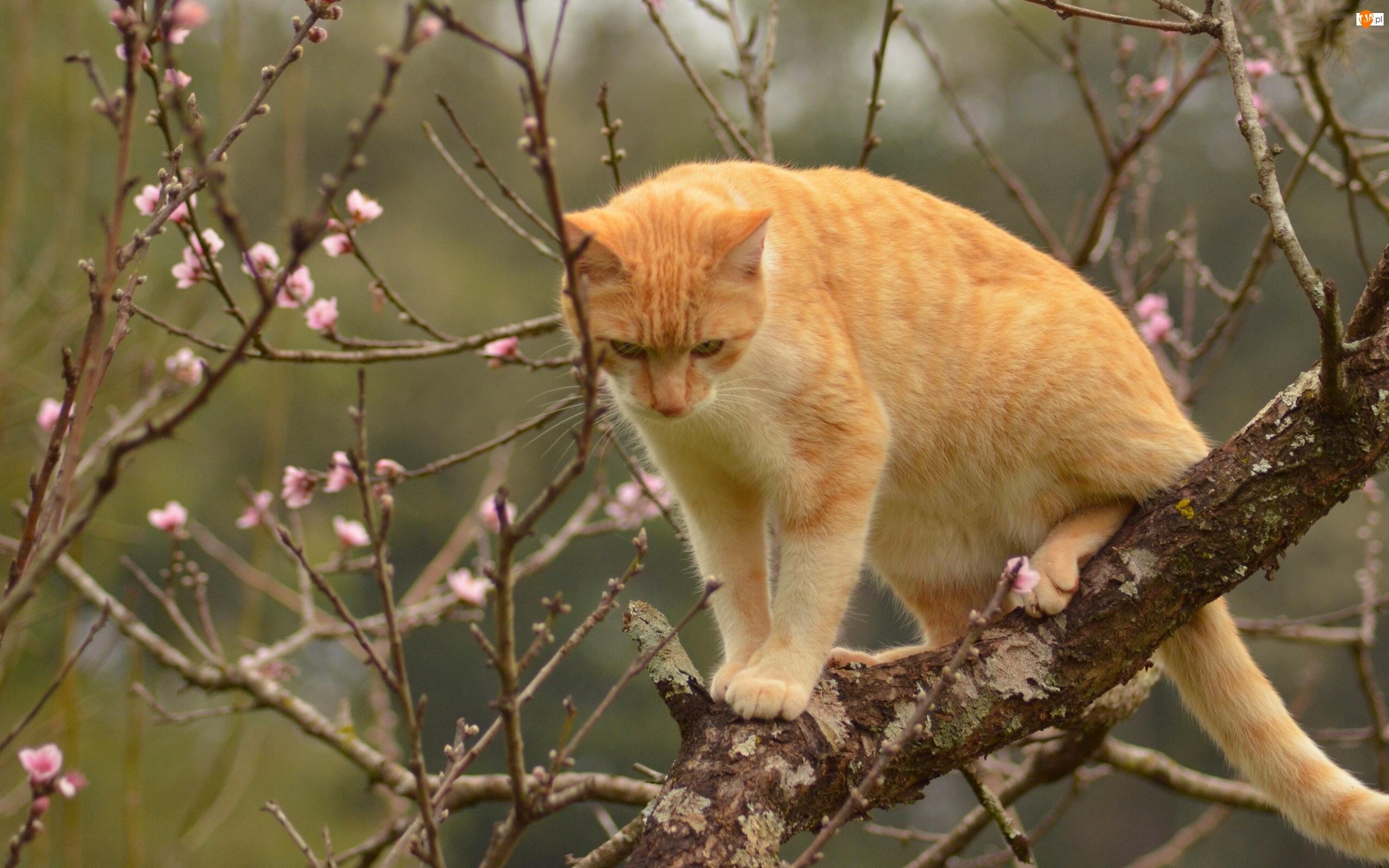 Kwitnące Drzewo Wiosna Rudy Kot