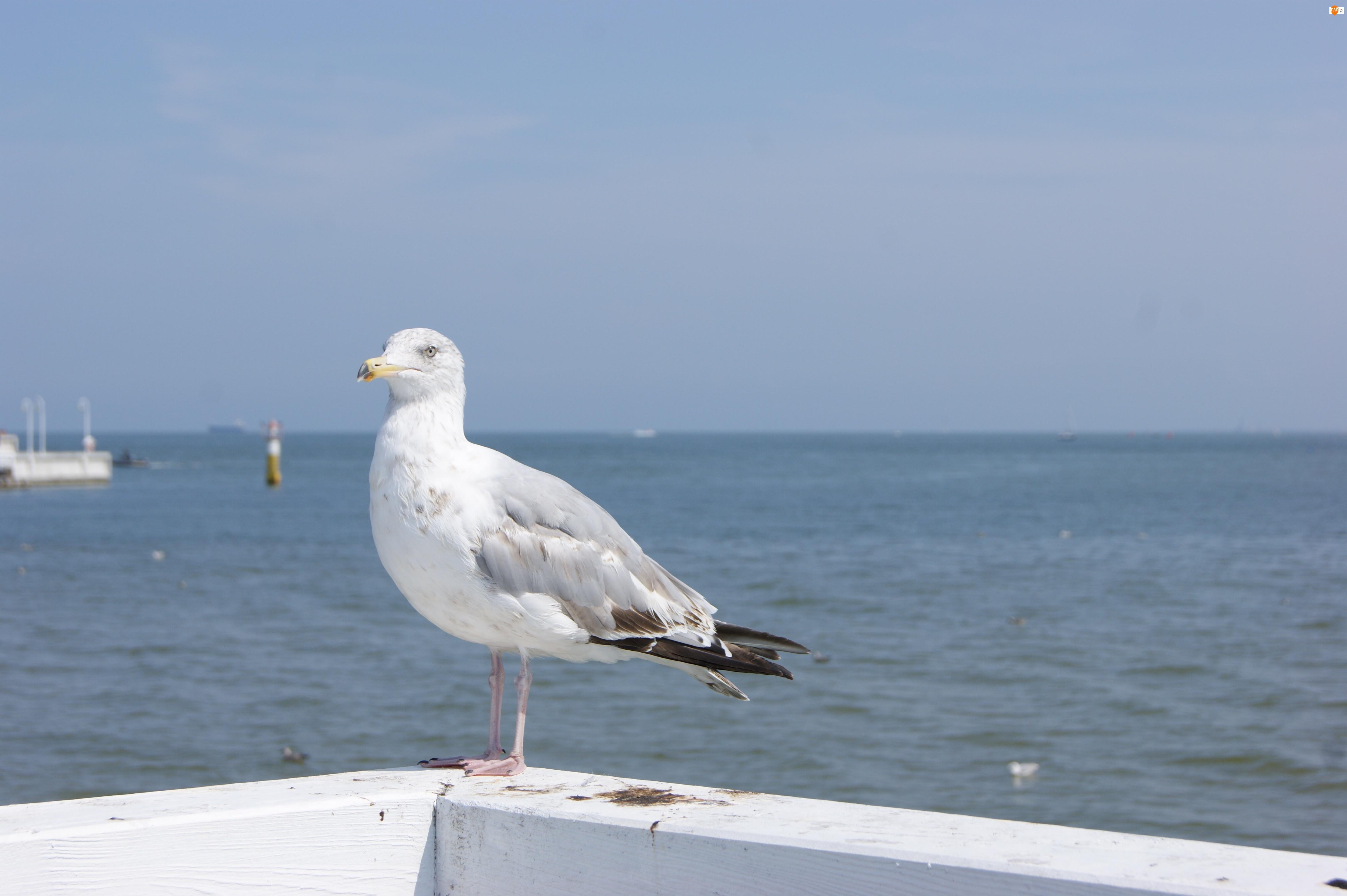 Mewa, Morze