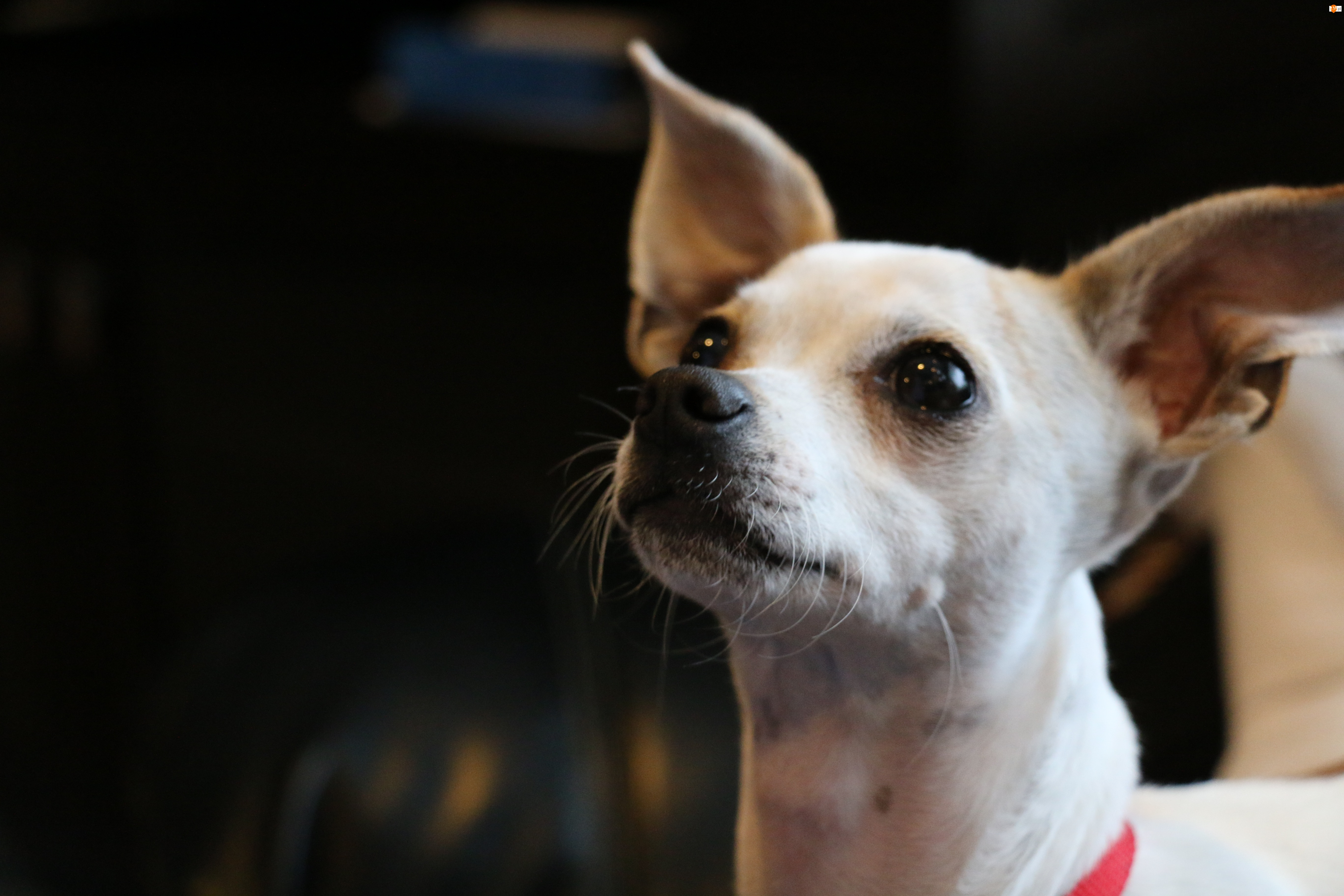 Pies, Chihuahua