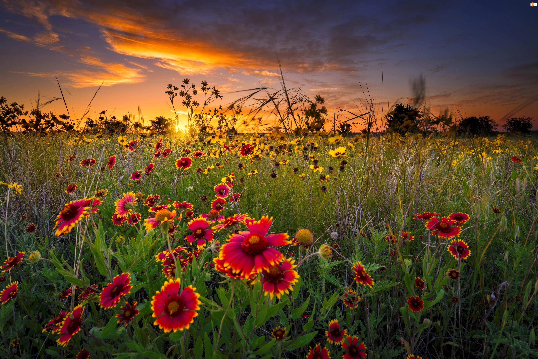 Wschód słońca, Gailardia, Łąka, Polne kwiaty