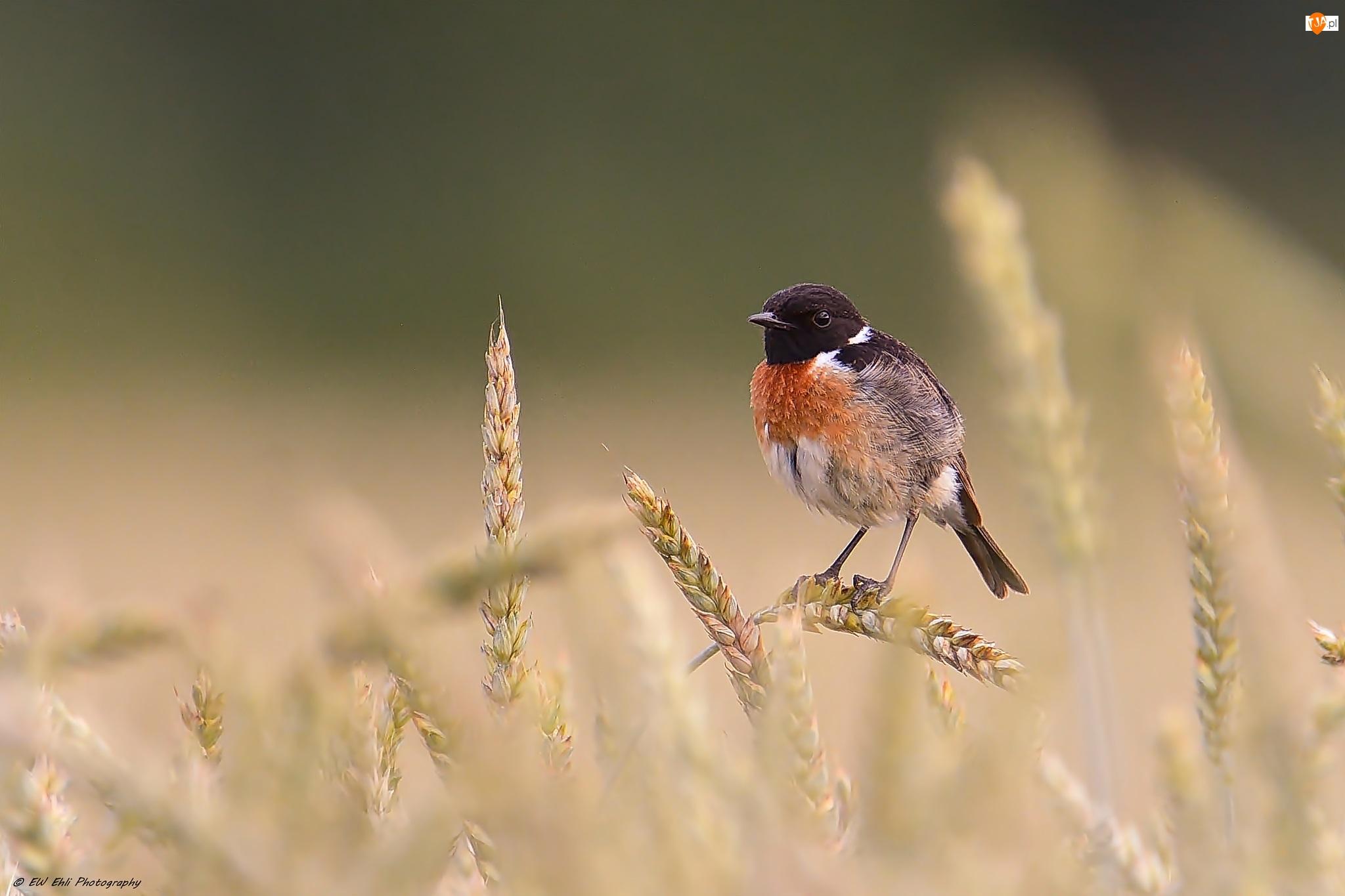 Ptak, Zboża, Kląskawka zwyczajna, Kłosy