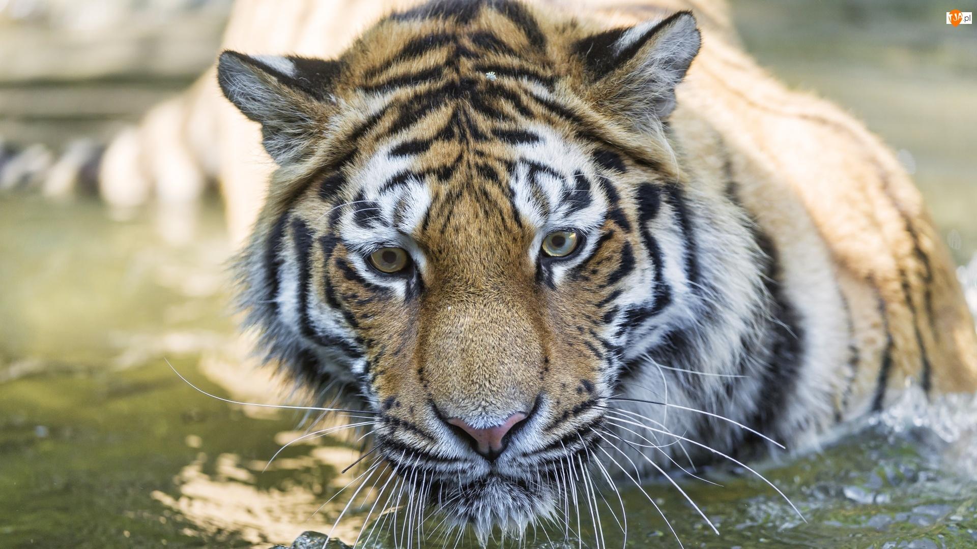 Tygrys, Kąpiel