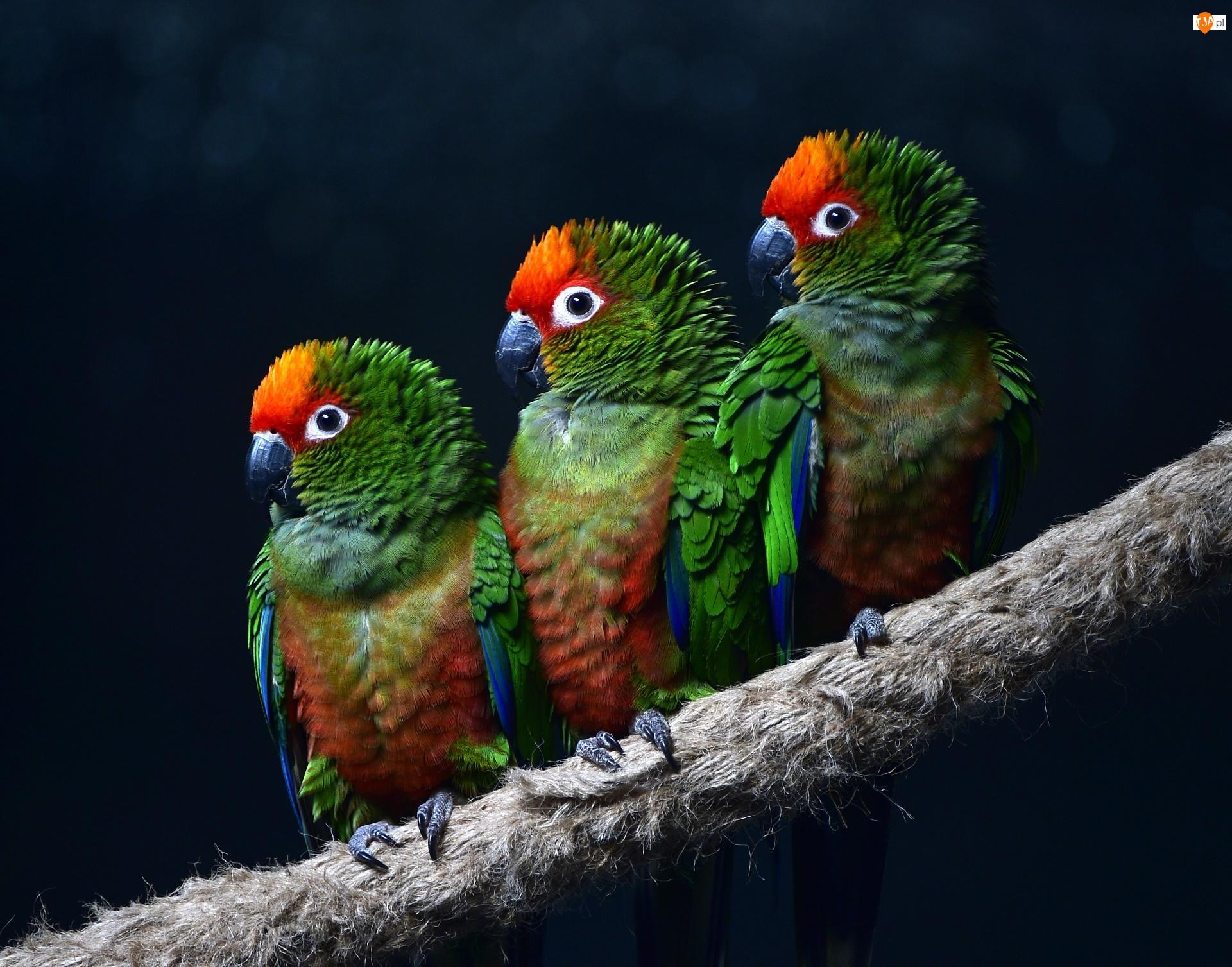 Papugi, Gałąź