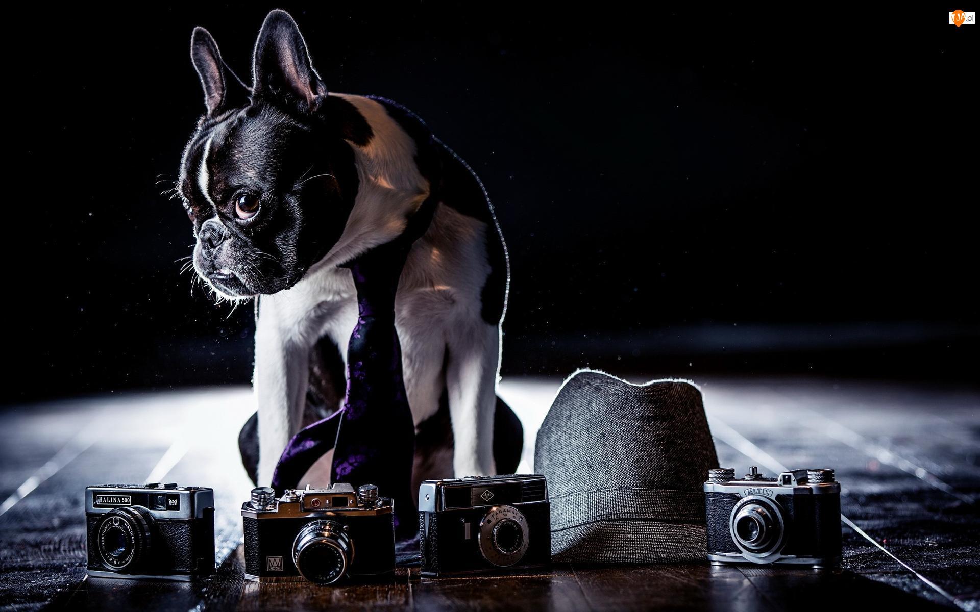 Buldog francuski, Krawat, Aparaty fotograficzne, Kapelusz