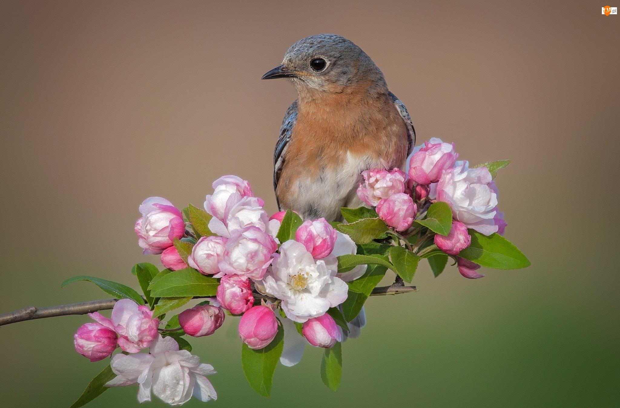 Ptak, Kwiaty, Błękitnik rudogardły, Gałąź