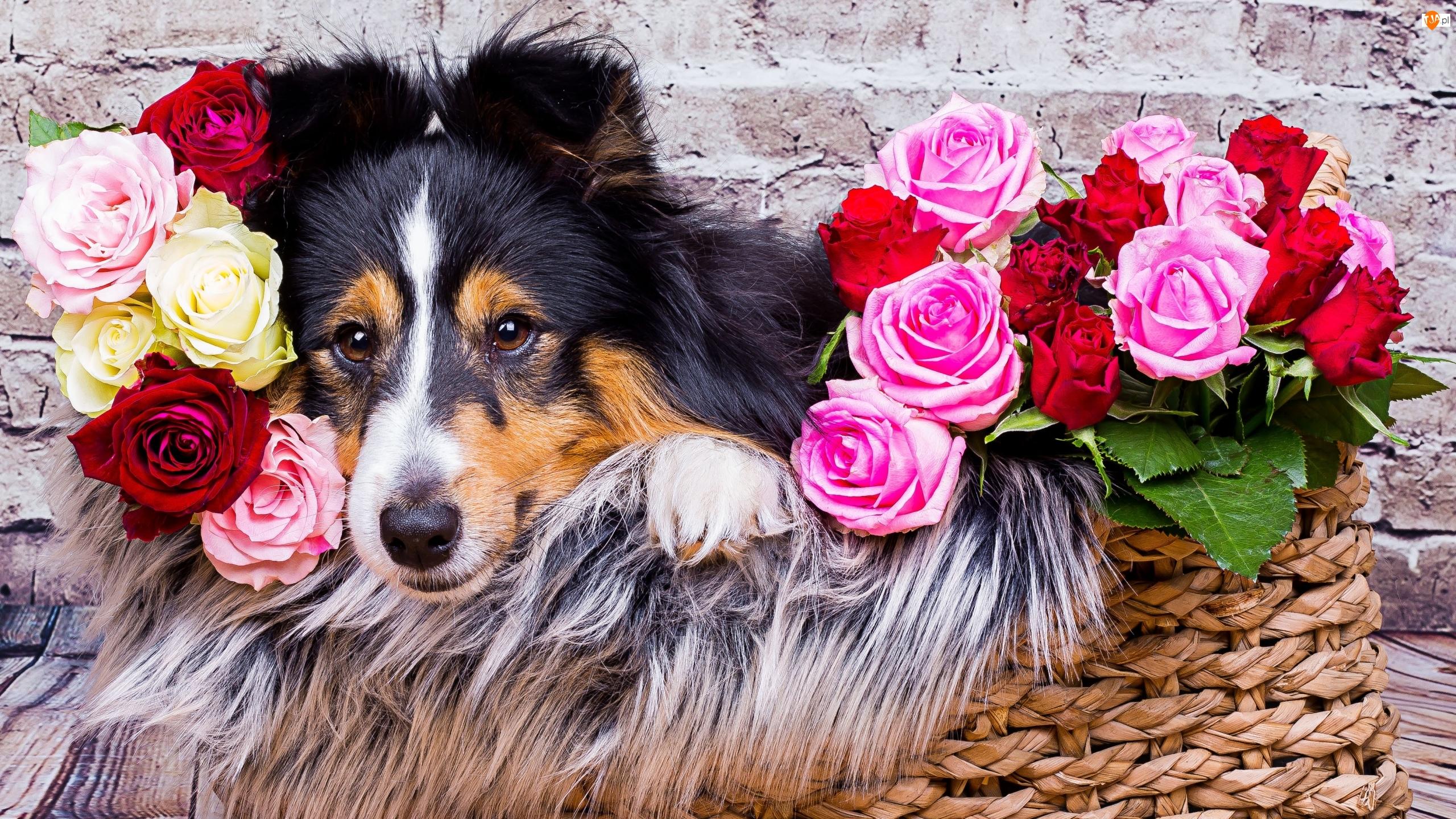 Mur, Owczarek szetlandzki, Róże, Kolorowe, Kosz