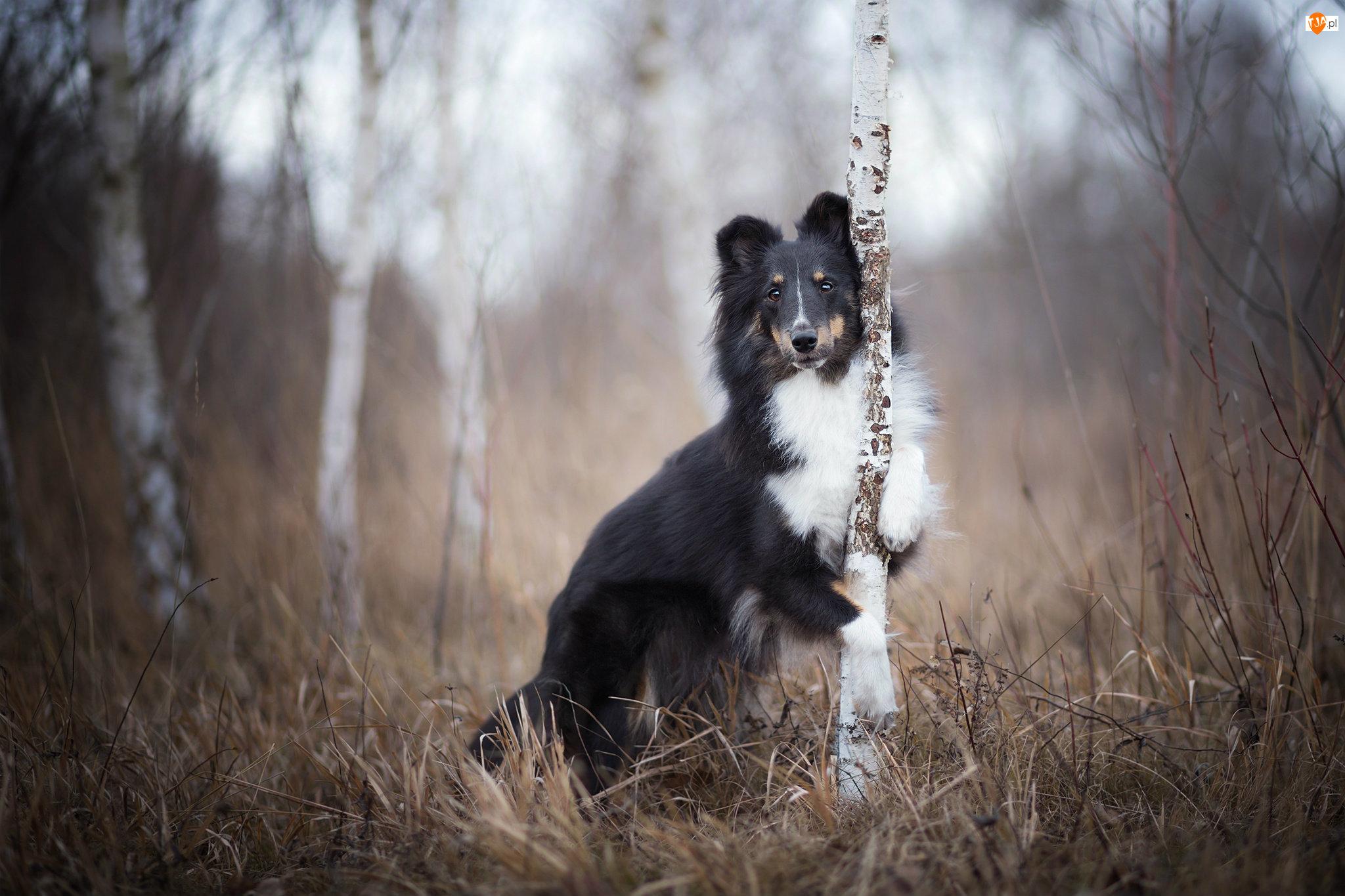Trawa, Pies, Drzewa, Owczarek szetlandzki, Brzozy