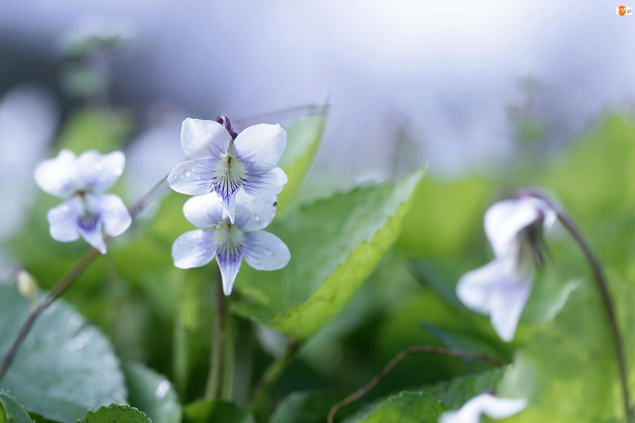 Kwiat, Fiołek motylkowaty, Biały