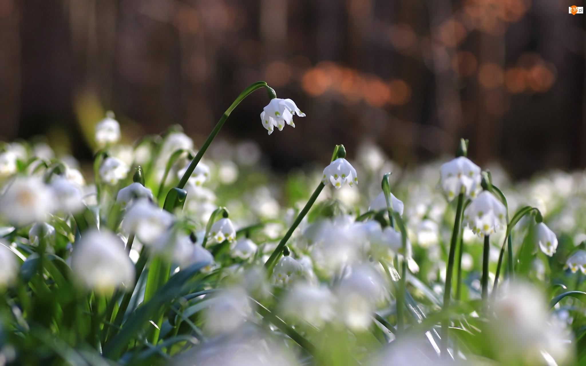 Kwiaty, Las, Śnieżyce, Światło