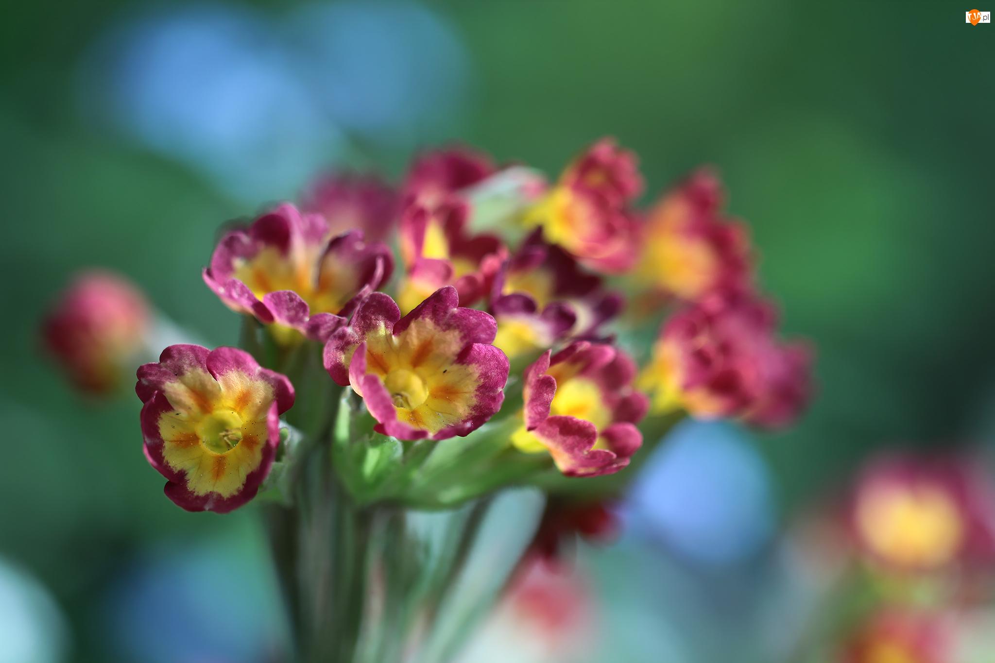 Pierwiosnki, Kwiaty