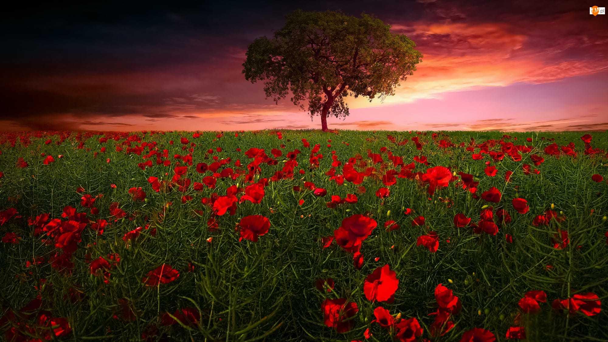 Zachód słońca, Drzewo, Łąka, Maki