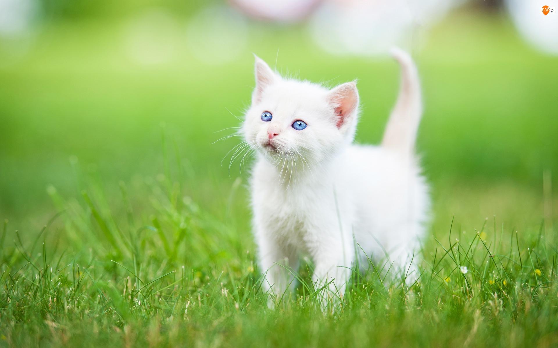 Słodki, Trawa, Biały, Kotek