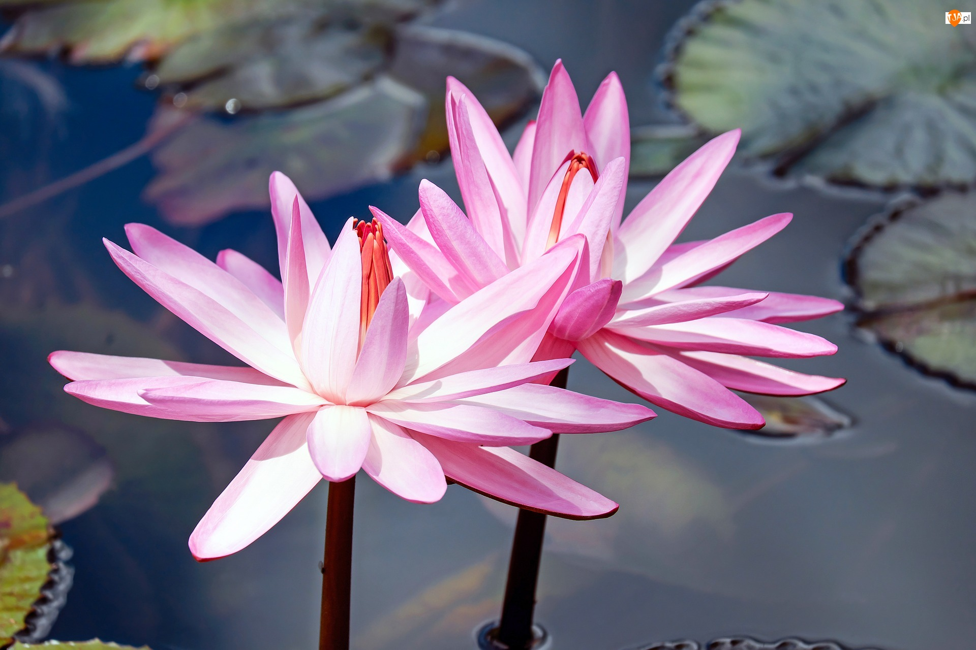 Liście, Lilie wodne, Różowe
