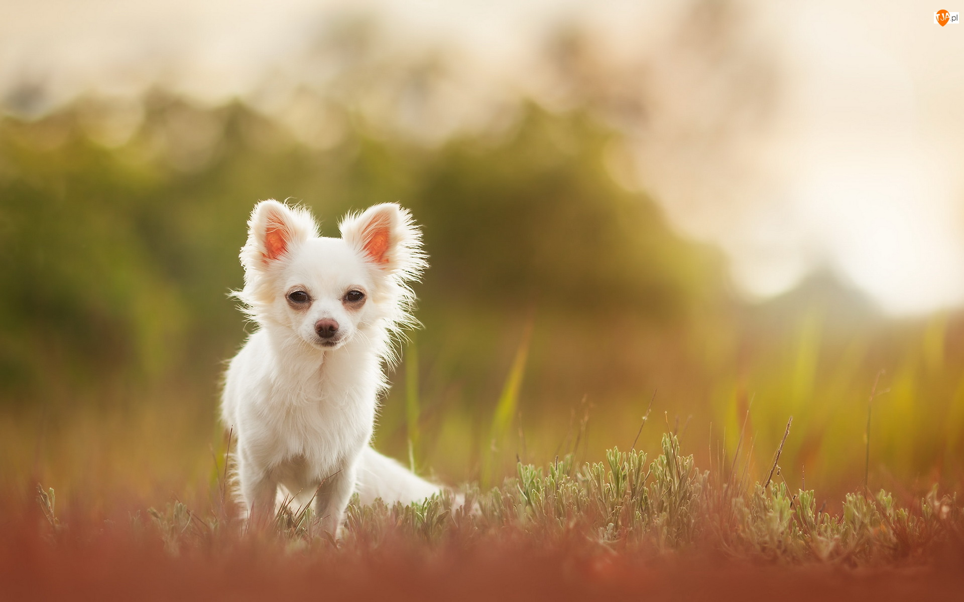 Chihuahua długowłosa, Trawa