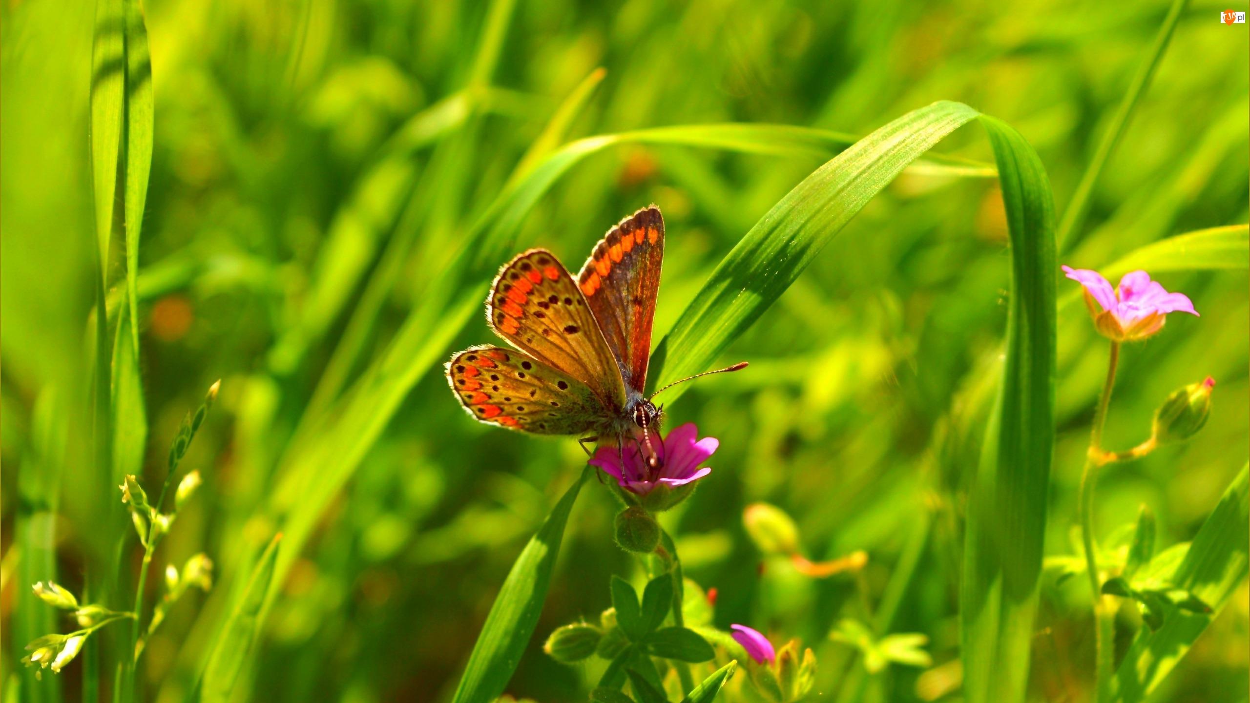 Motyl, Trawa, Modraszek ikar, Kwiaty