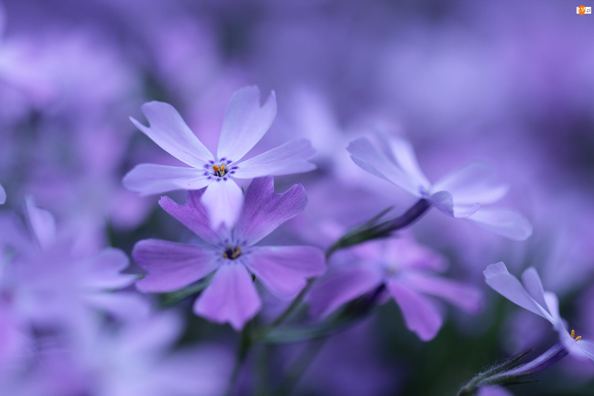 Liliowe, Kwiaty