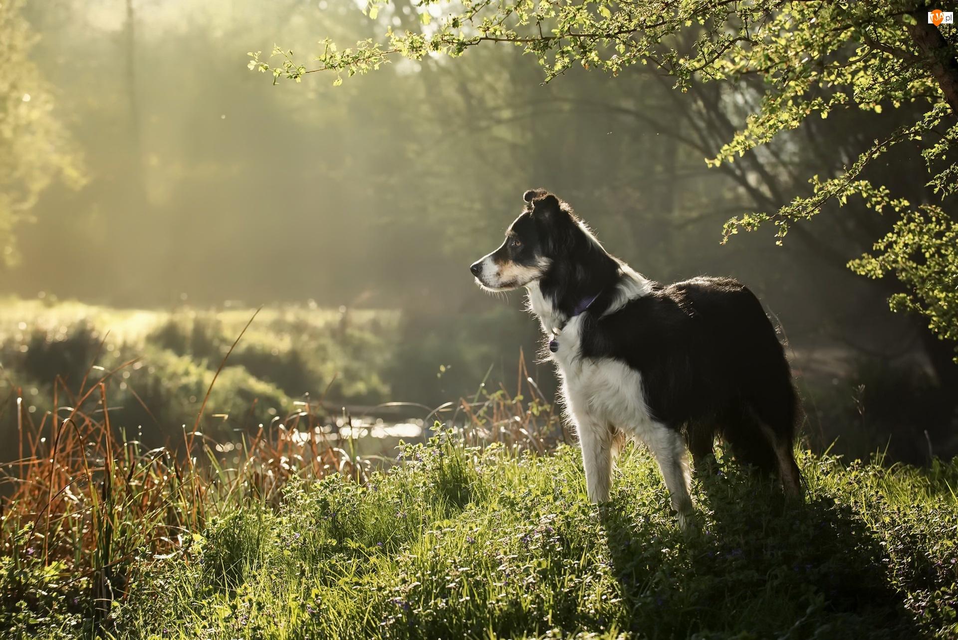 Łąka, Pies, Rzeka, Rośliny