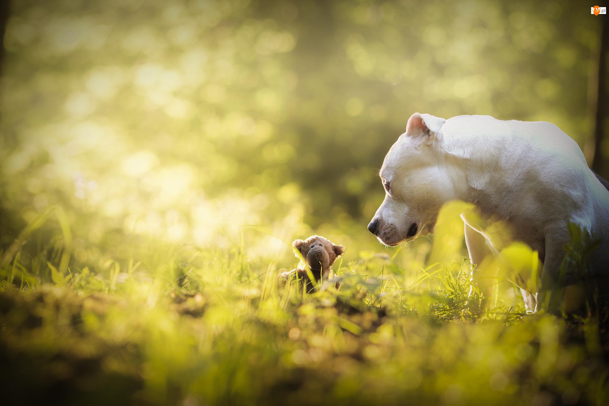 Pit bull terrier, Zabawka, Pies, Łąka, Biały, Maskotka
