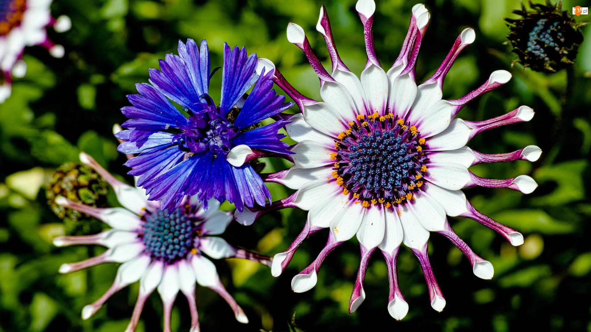 Kwiaty, Chaber, Osteospermum, Stokrotka afrykańska